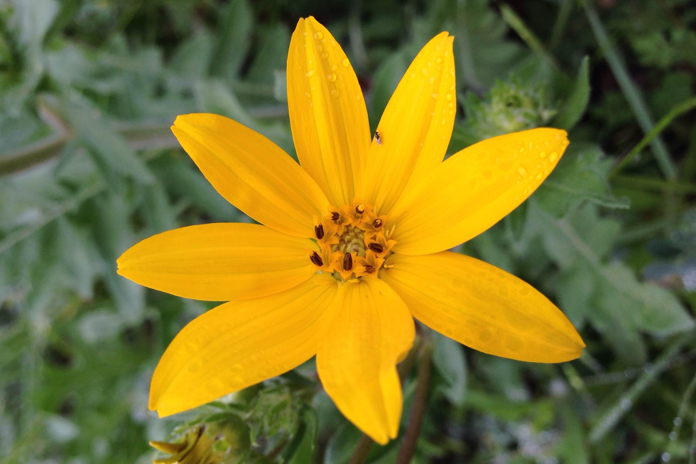 Engelmannia peristenia, Engelmann daisy