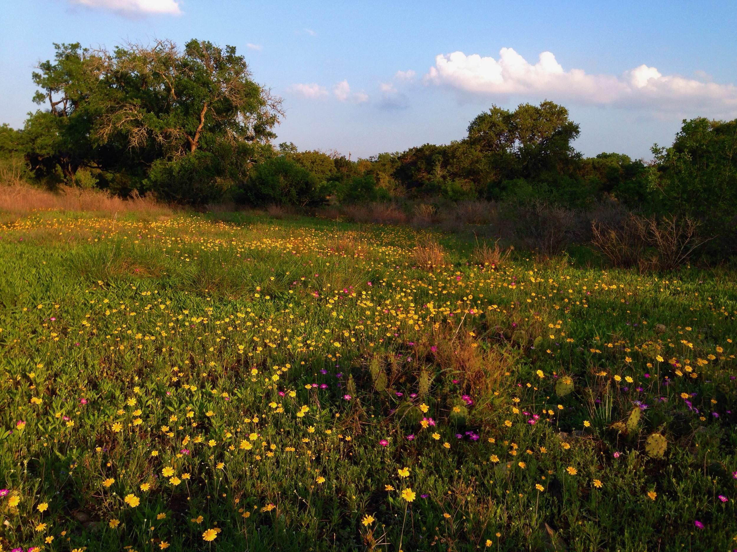 Field of Tetraneuris scaposa, Four nerve daisy