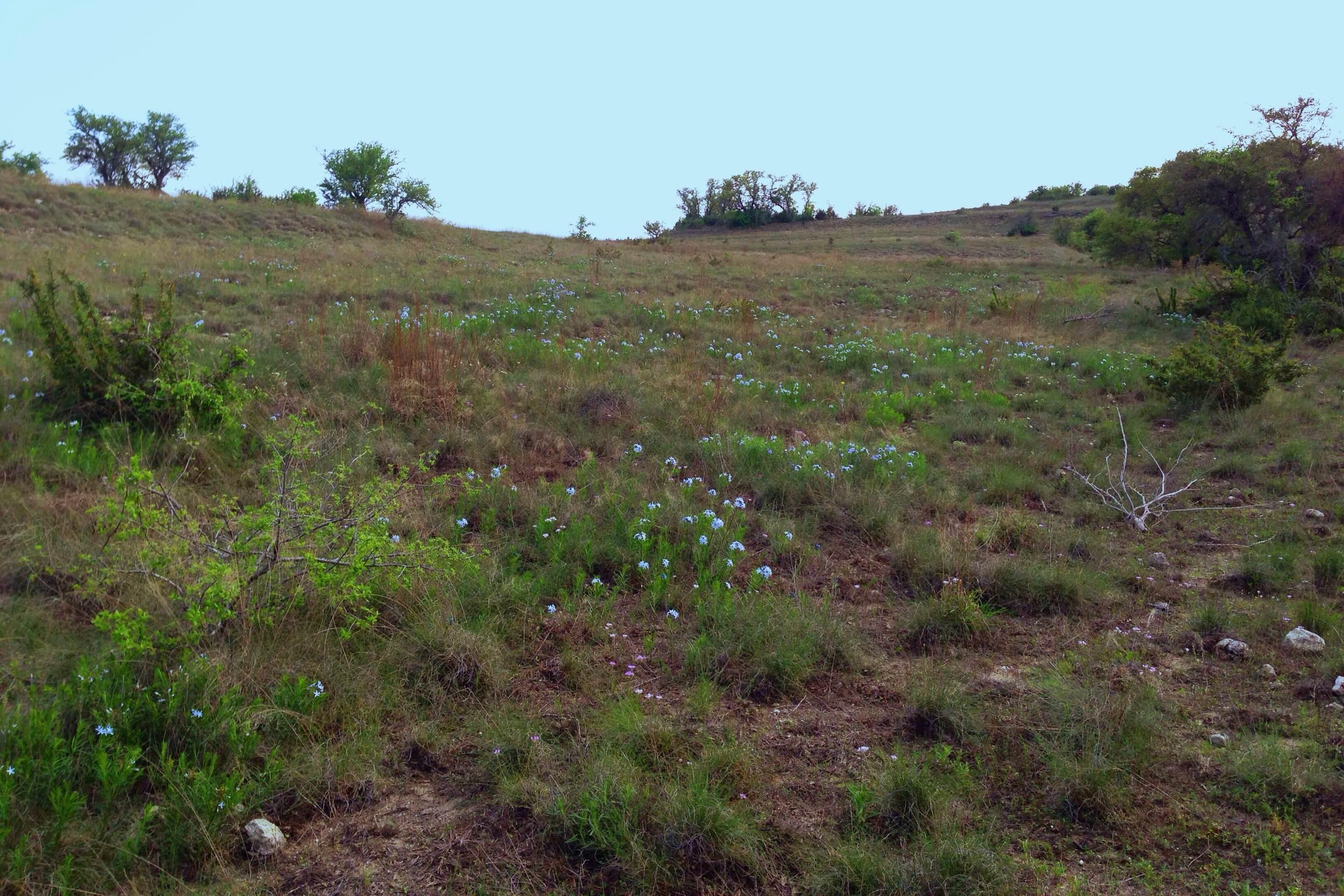 Field of Amsonia ciliata, Fringed bluestar