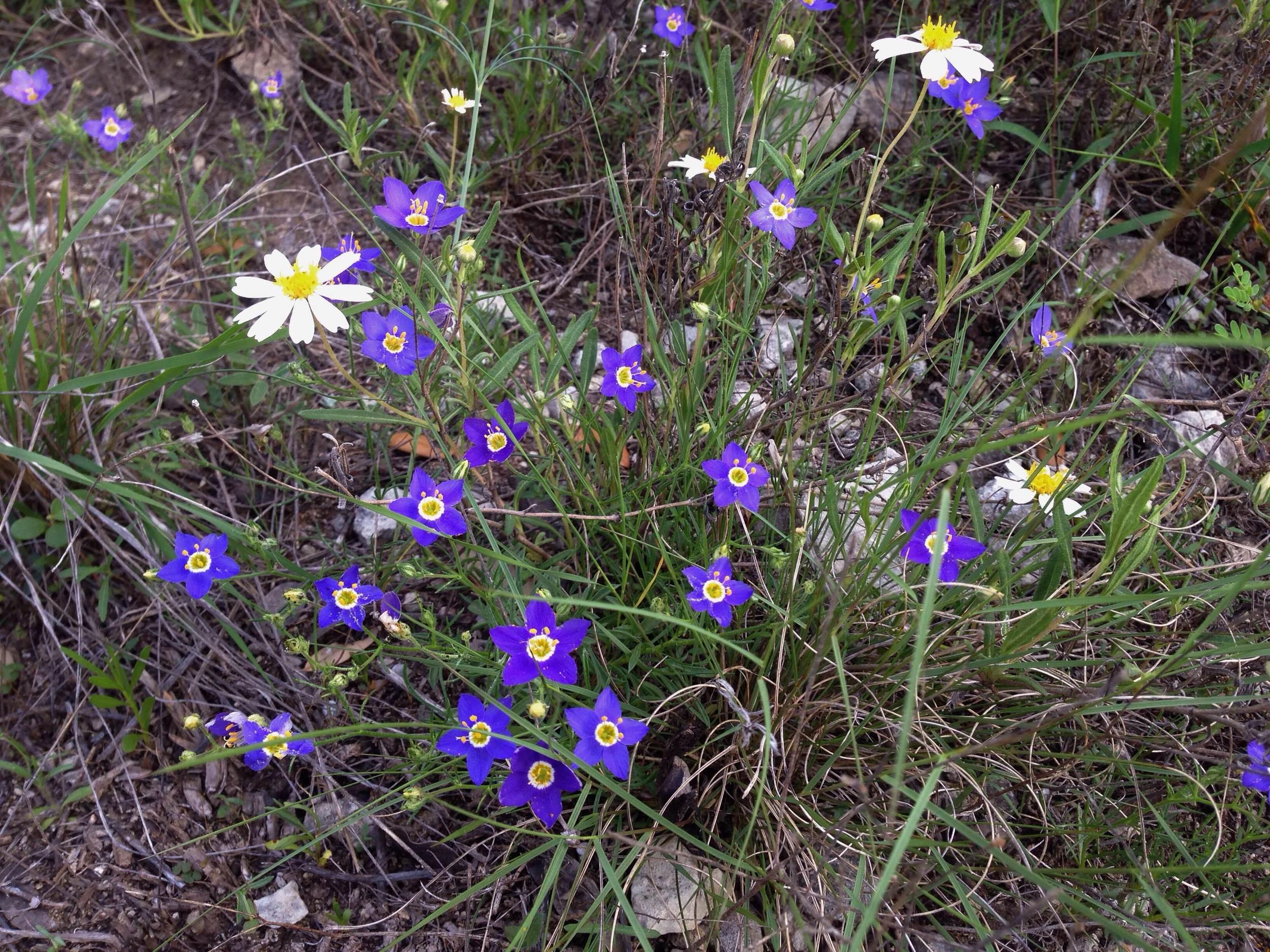 Giliastrum acerosum, Bluebowls