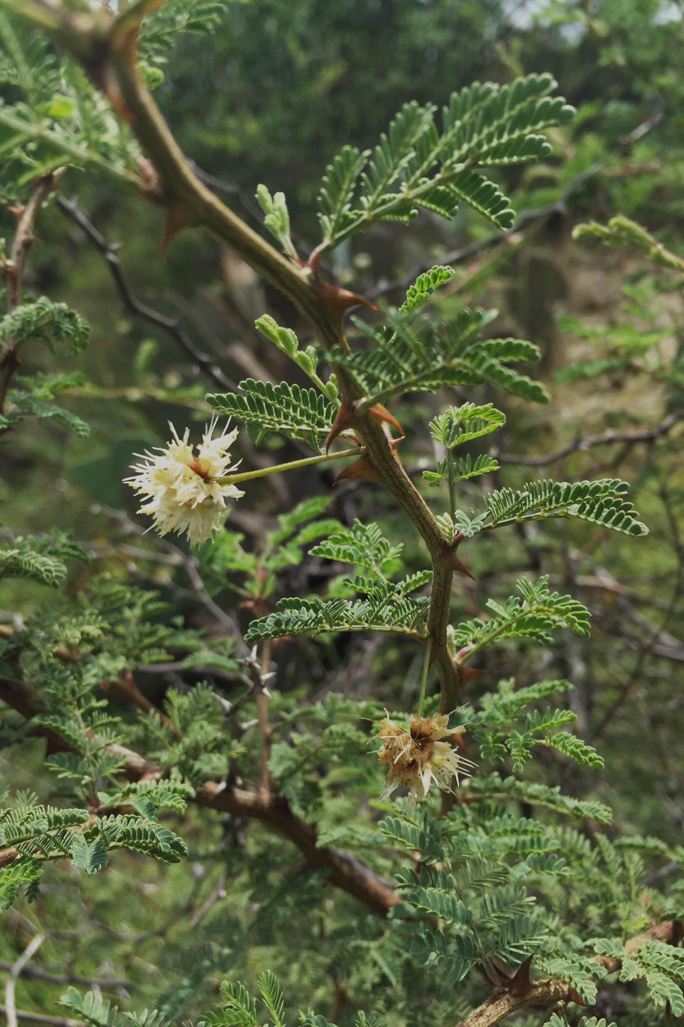 Mimosa aculeaticarpa, Catclaw Mimosa