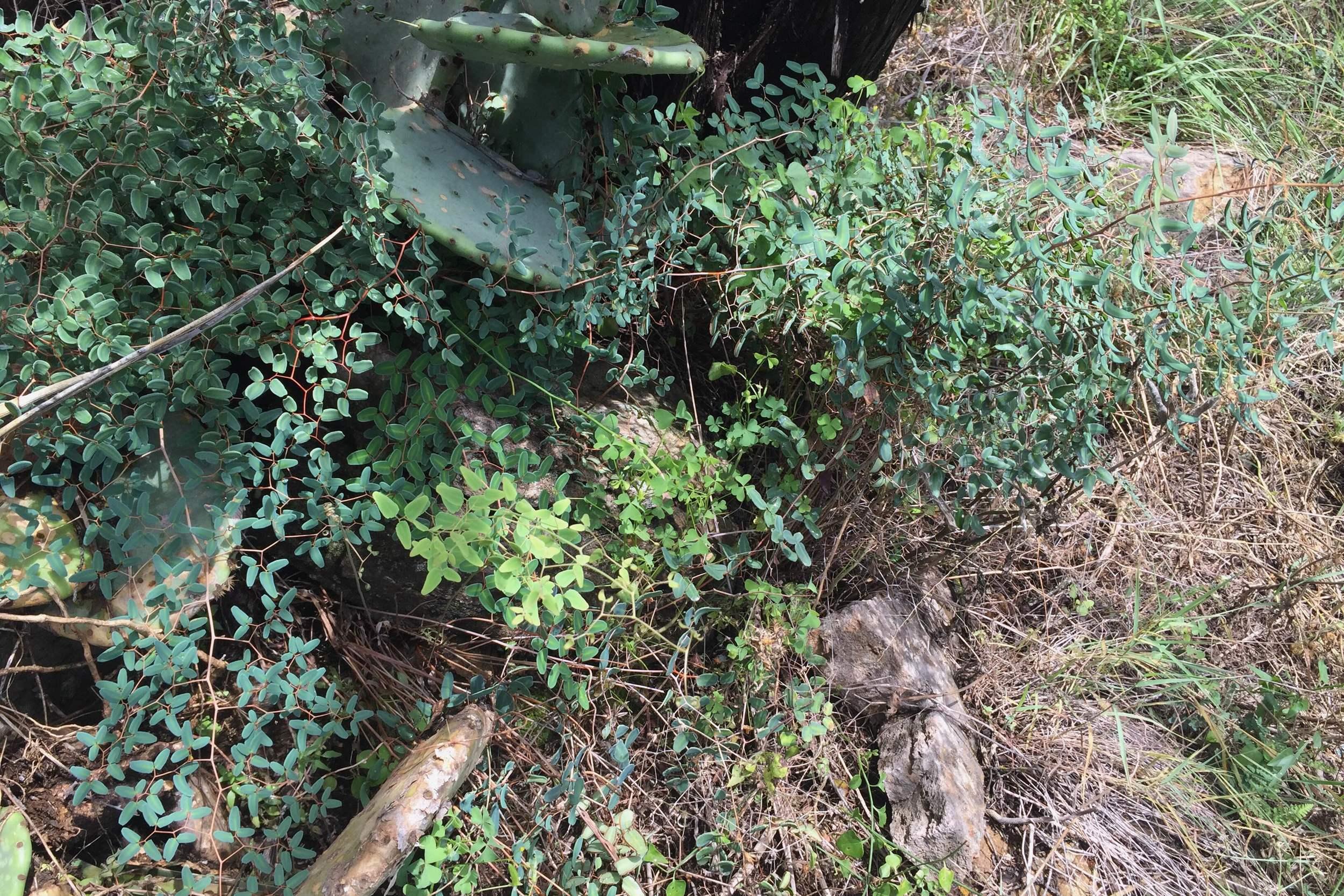 Pellaea ovata, Ovate-leaf Cliffbrake