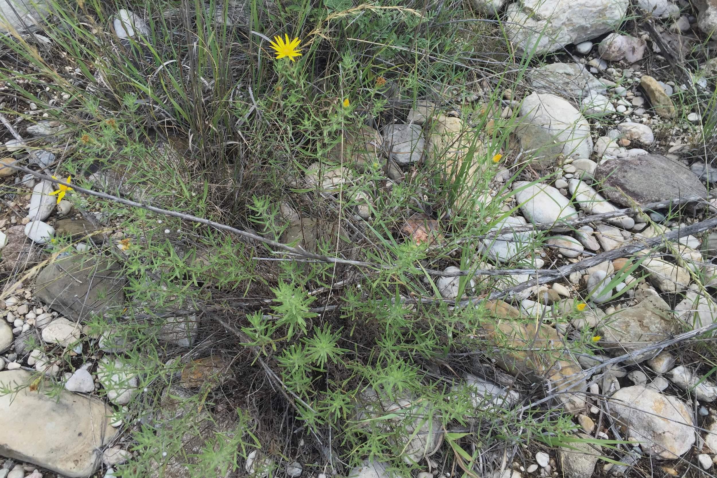 Heterotheca canescens, Golden Gray Aster