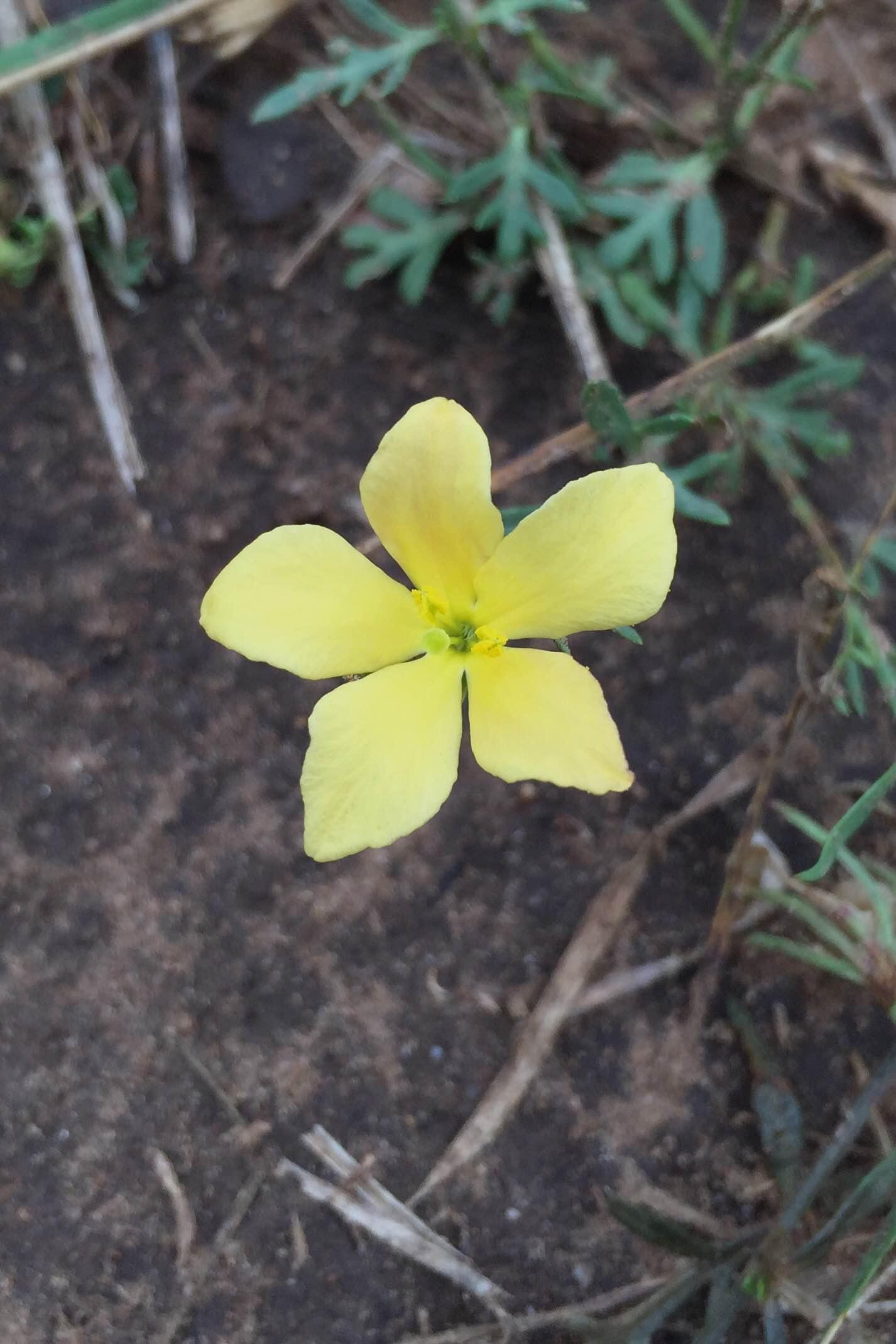 Menodora heterophylla, Redbud