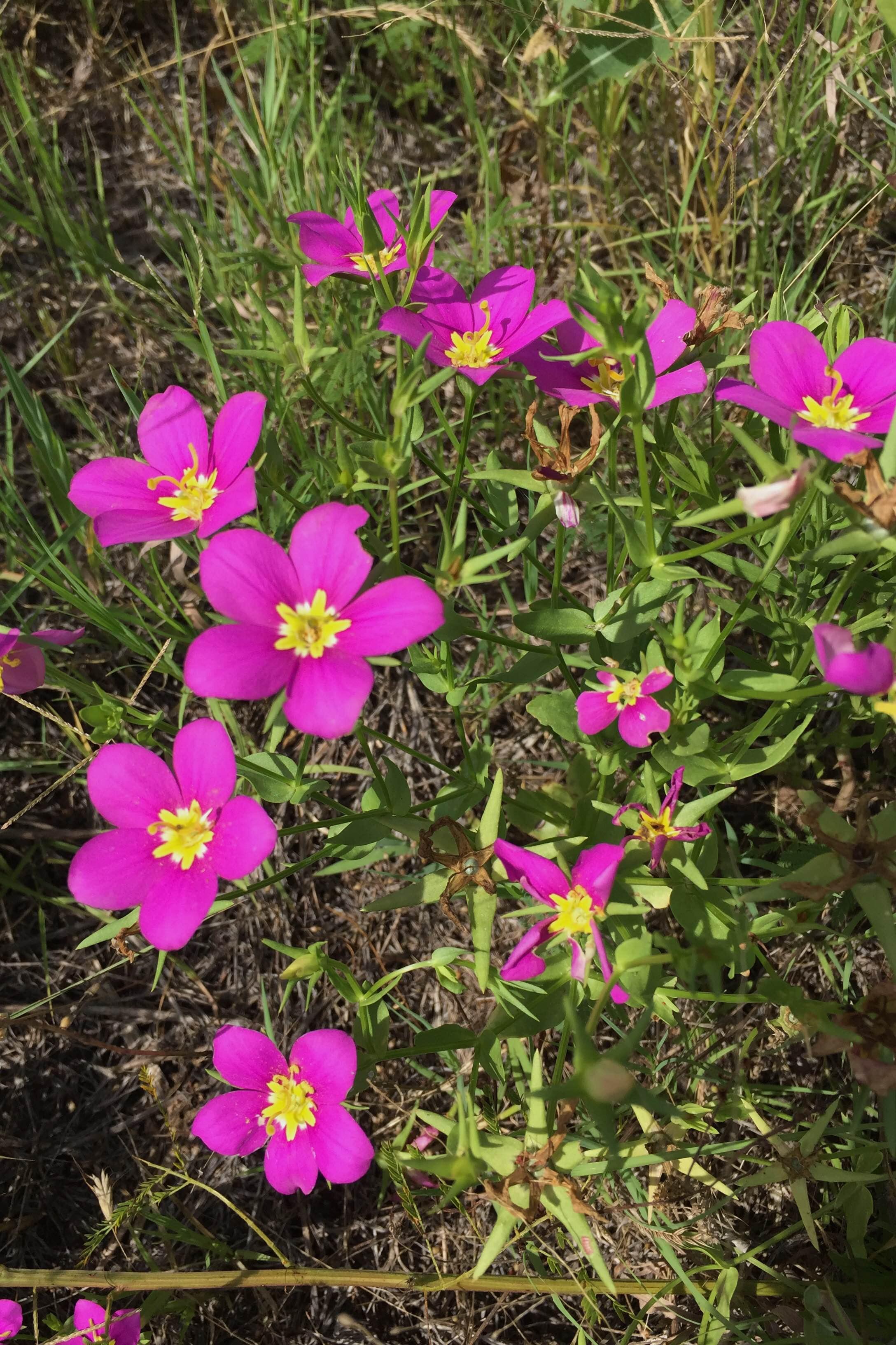 Sabatia campestris, Meadow Pink
