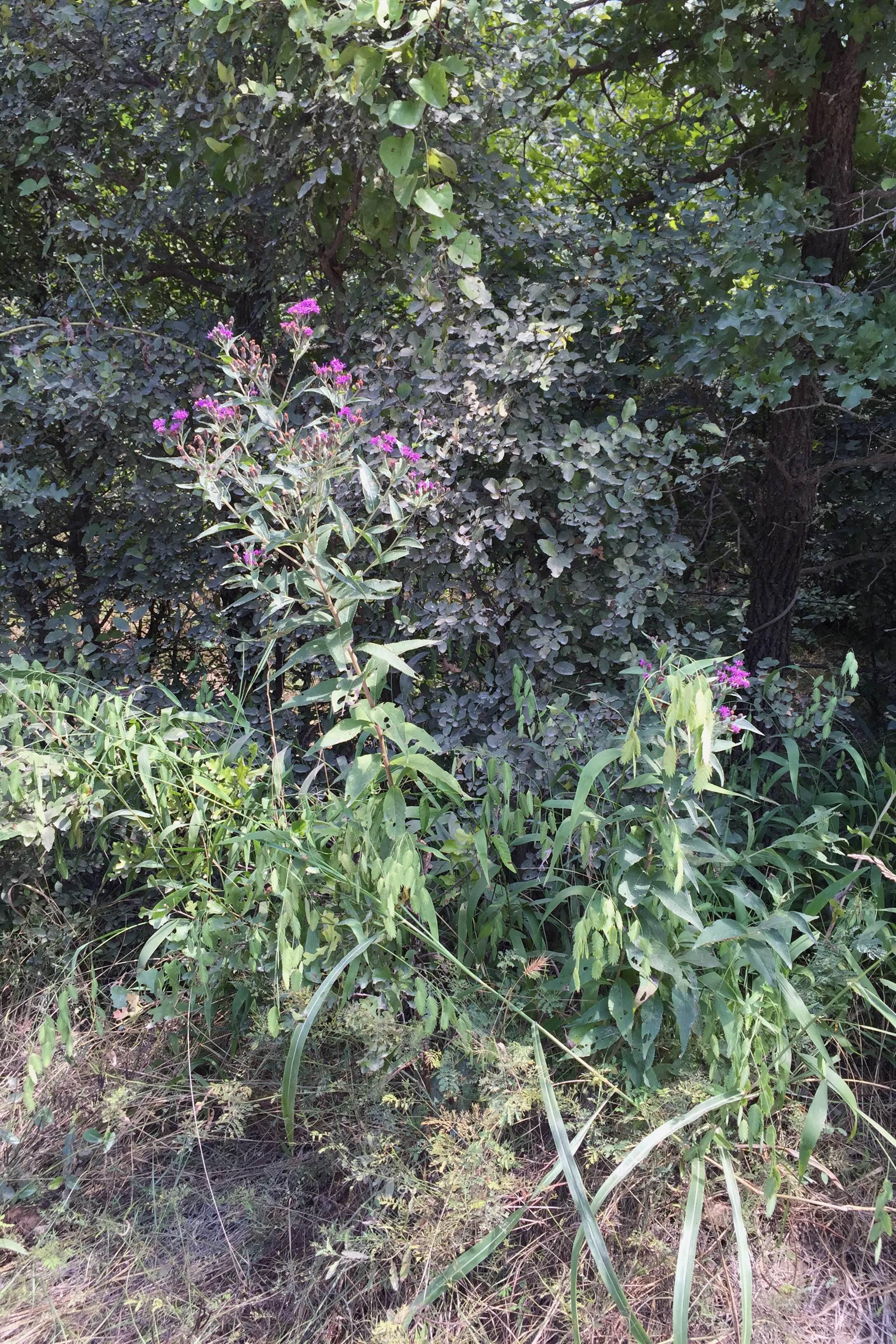 Vernonia baldwinii, Baldwin's Ironweed