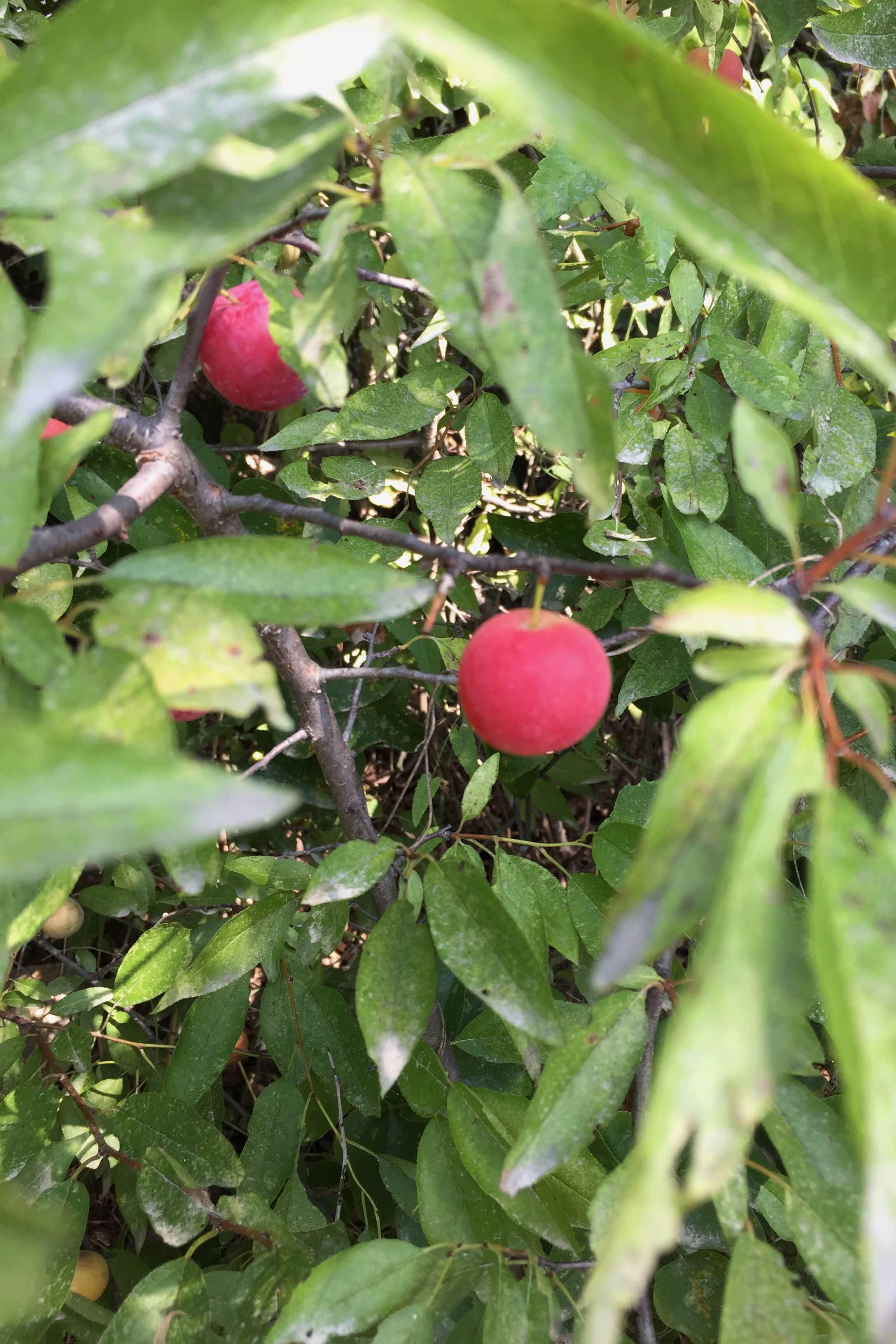 Prunus rivularis, River Plum