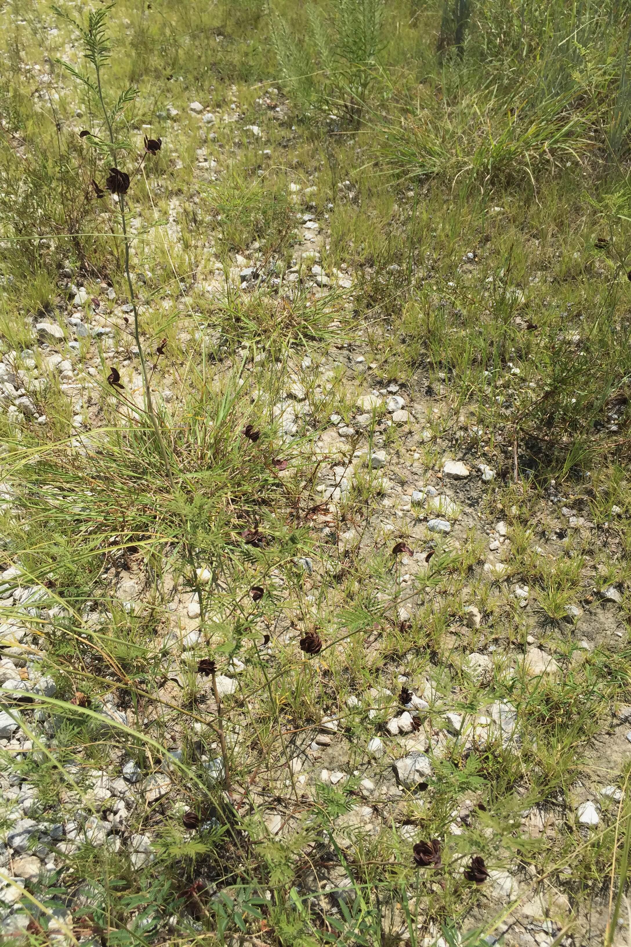 Desmanthus illinoensis, Illinois Bundleflower