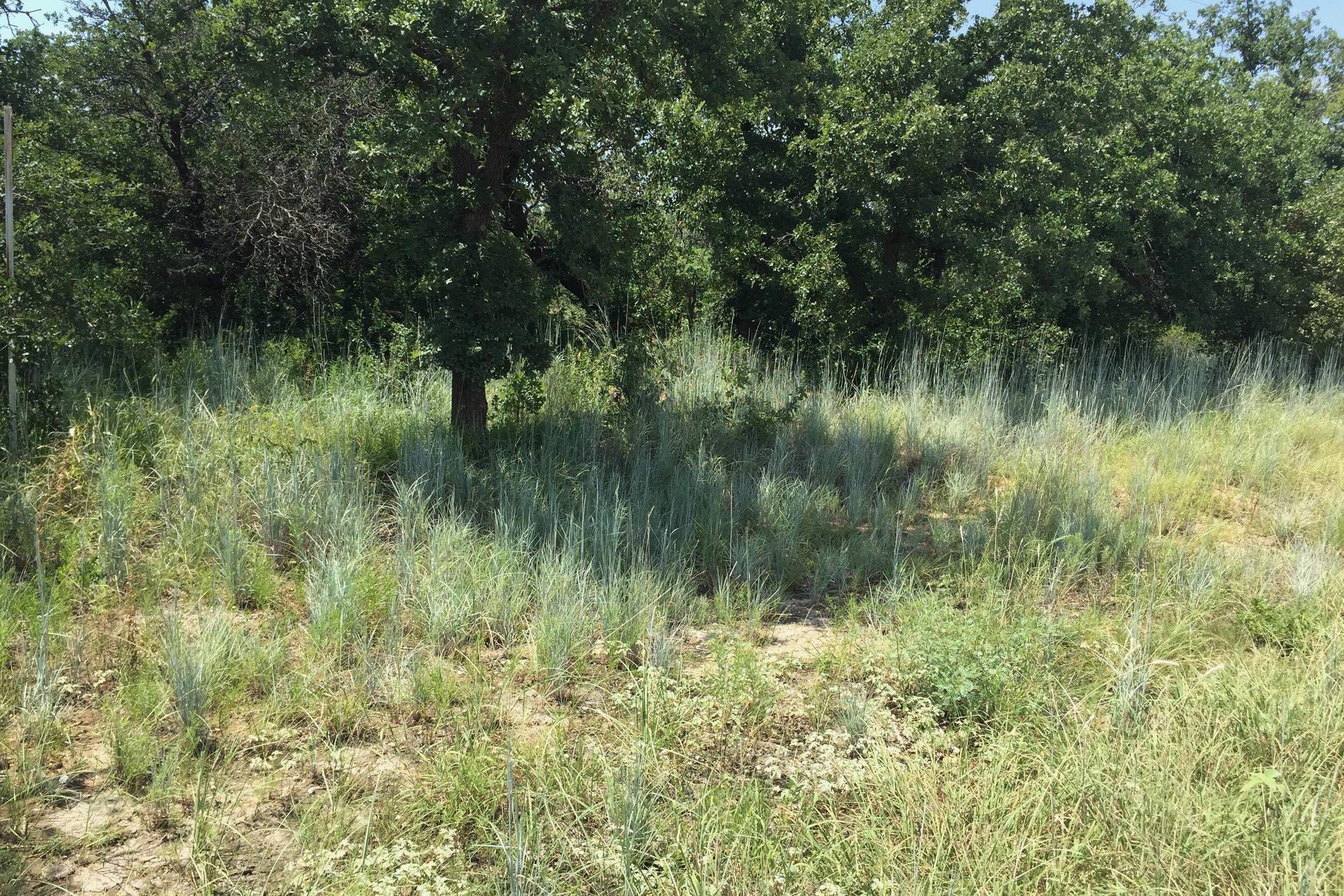 Stand of Schizachyrium scoparium (Little Bluestem) beneath Quercus stellata (Post Oak) along Cement Mountain Road in SE Young Co., Texas