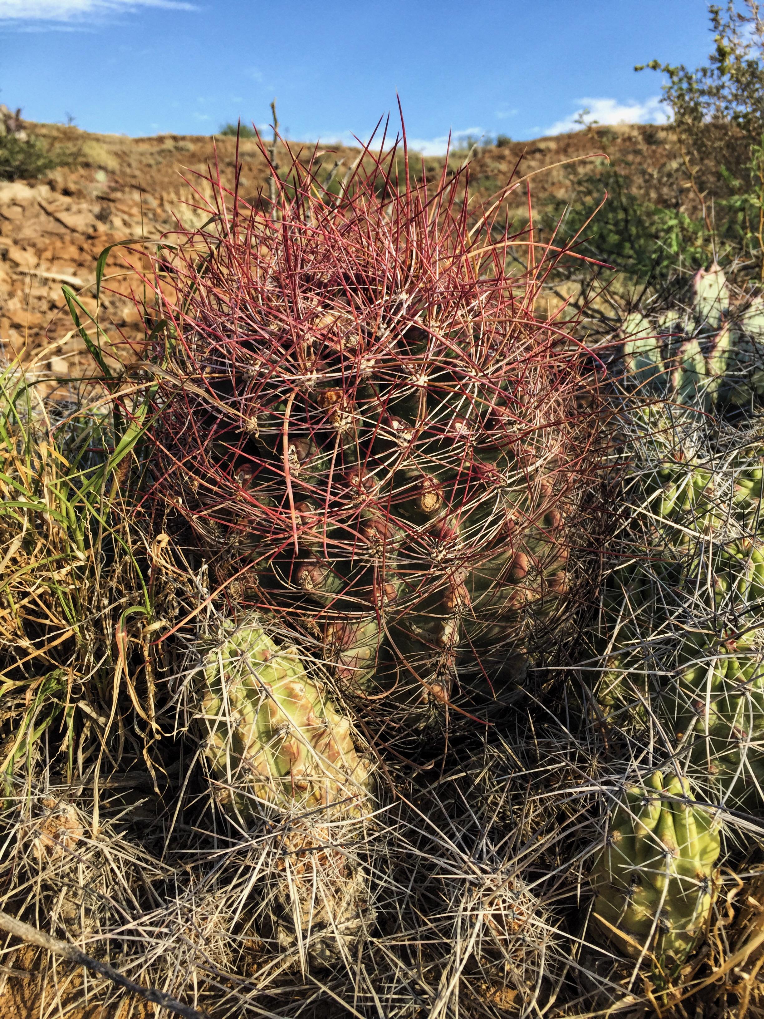 Ferocactus hamatacanthus var. hamatacanthus