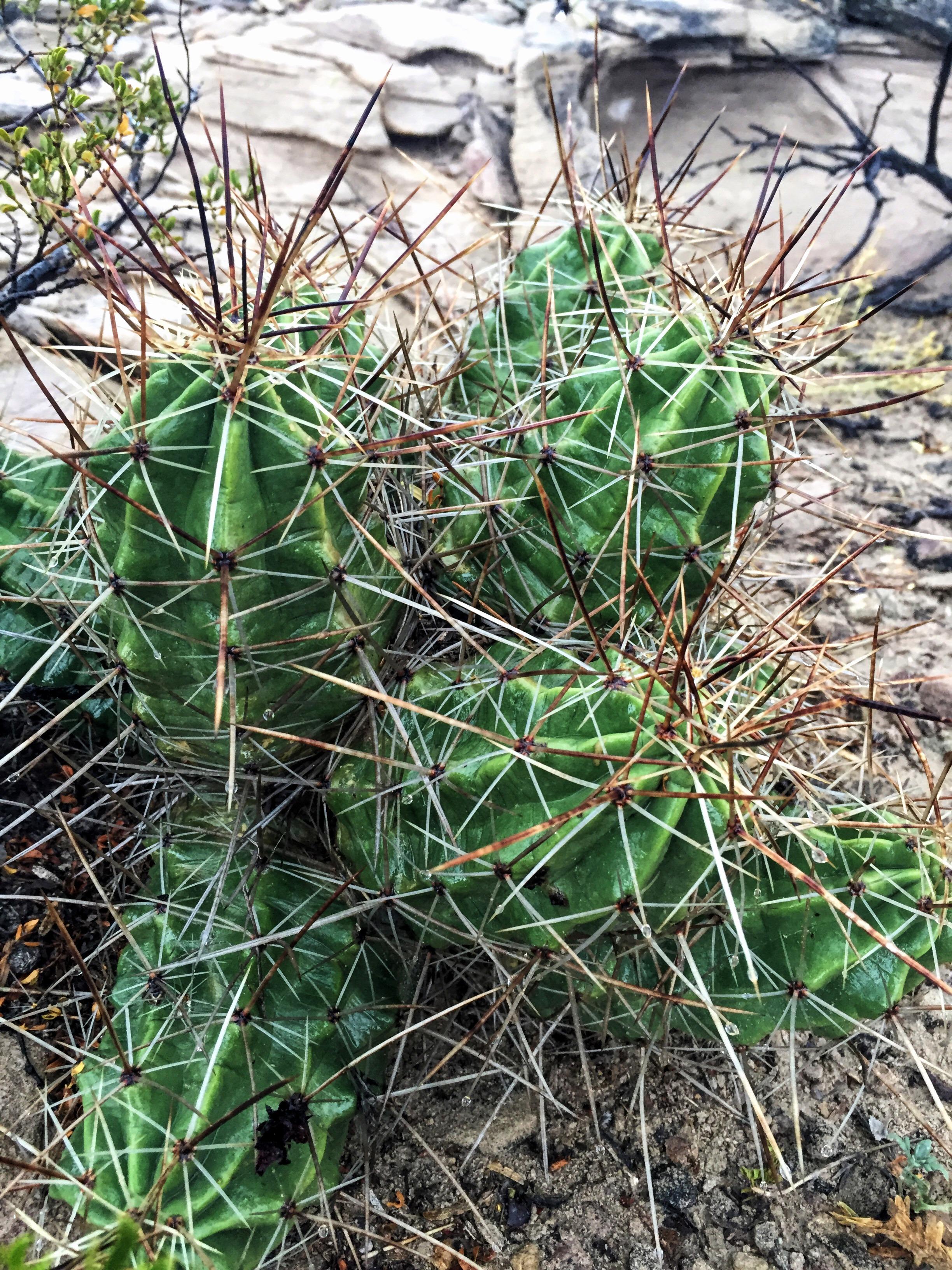 Echinocereus enneacanthus var. enneacanthus
