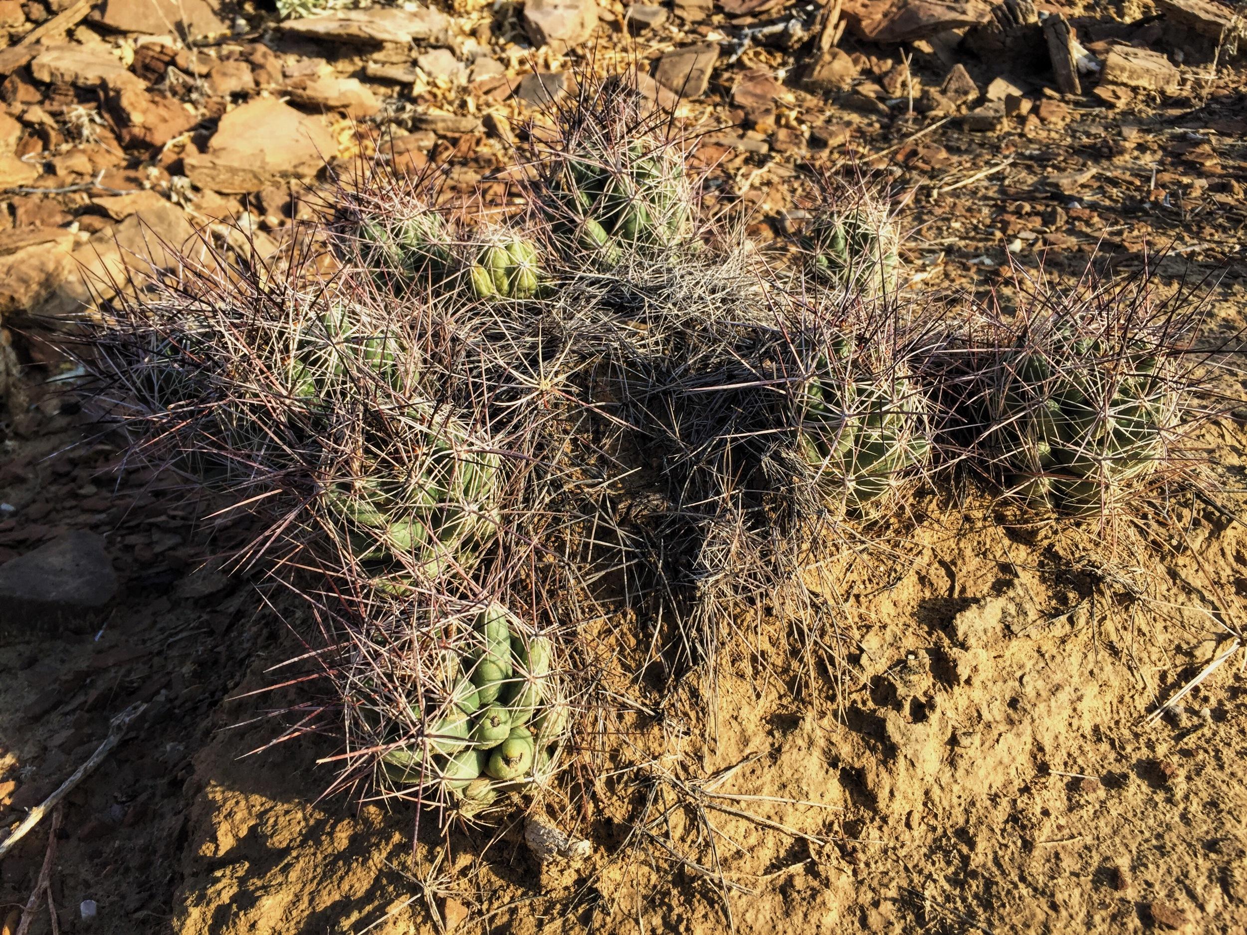Coryphantha macromeris var. macromeris