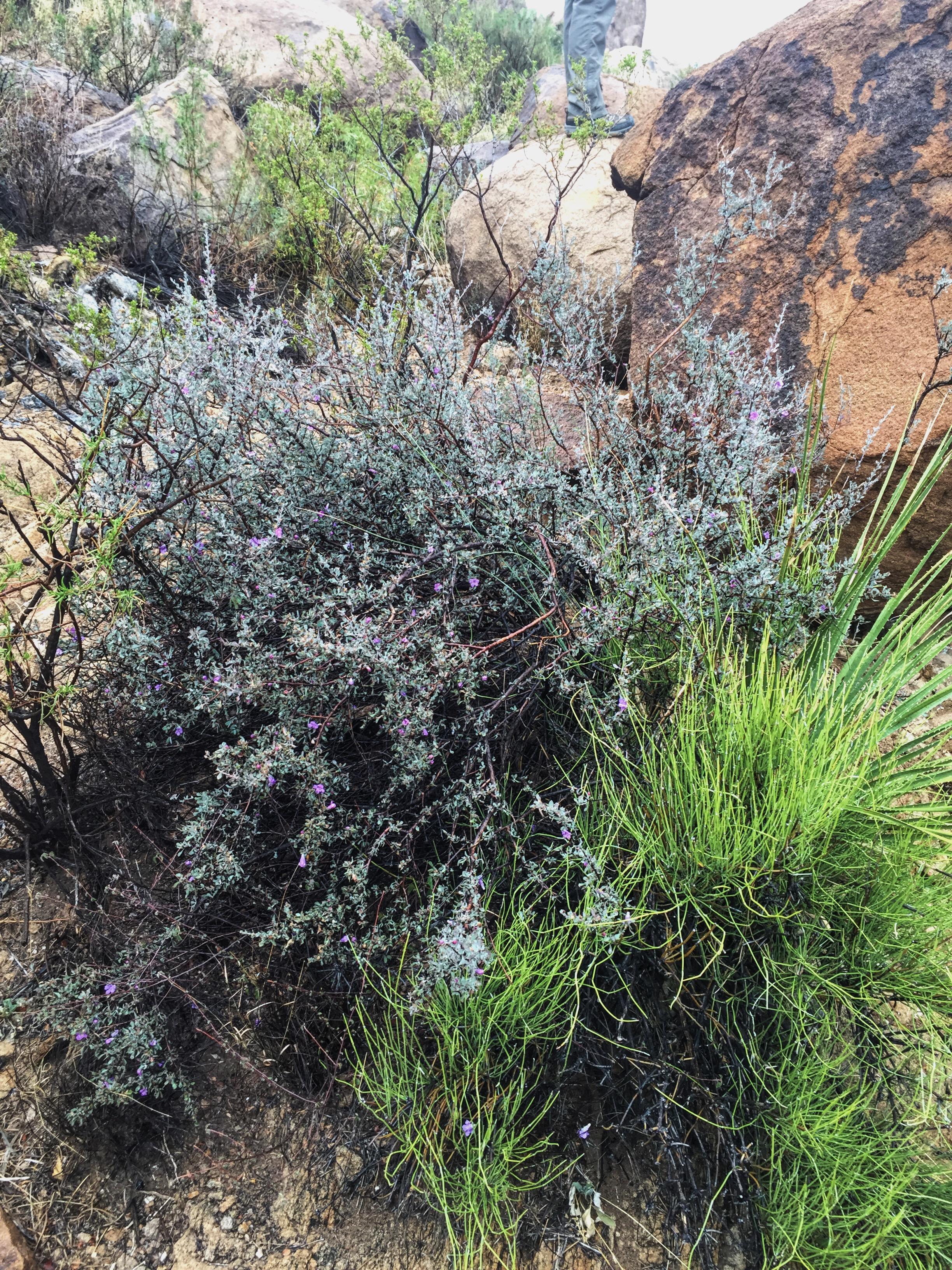 Leucophyllum minus