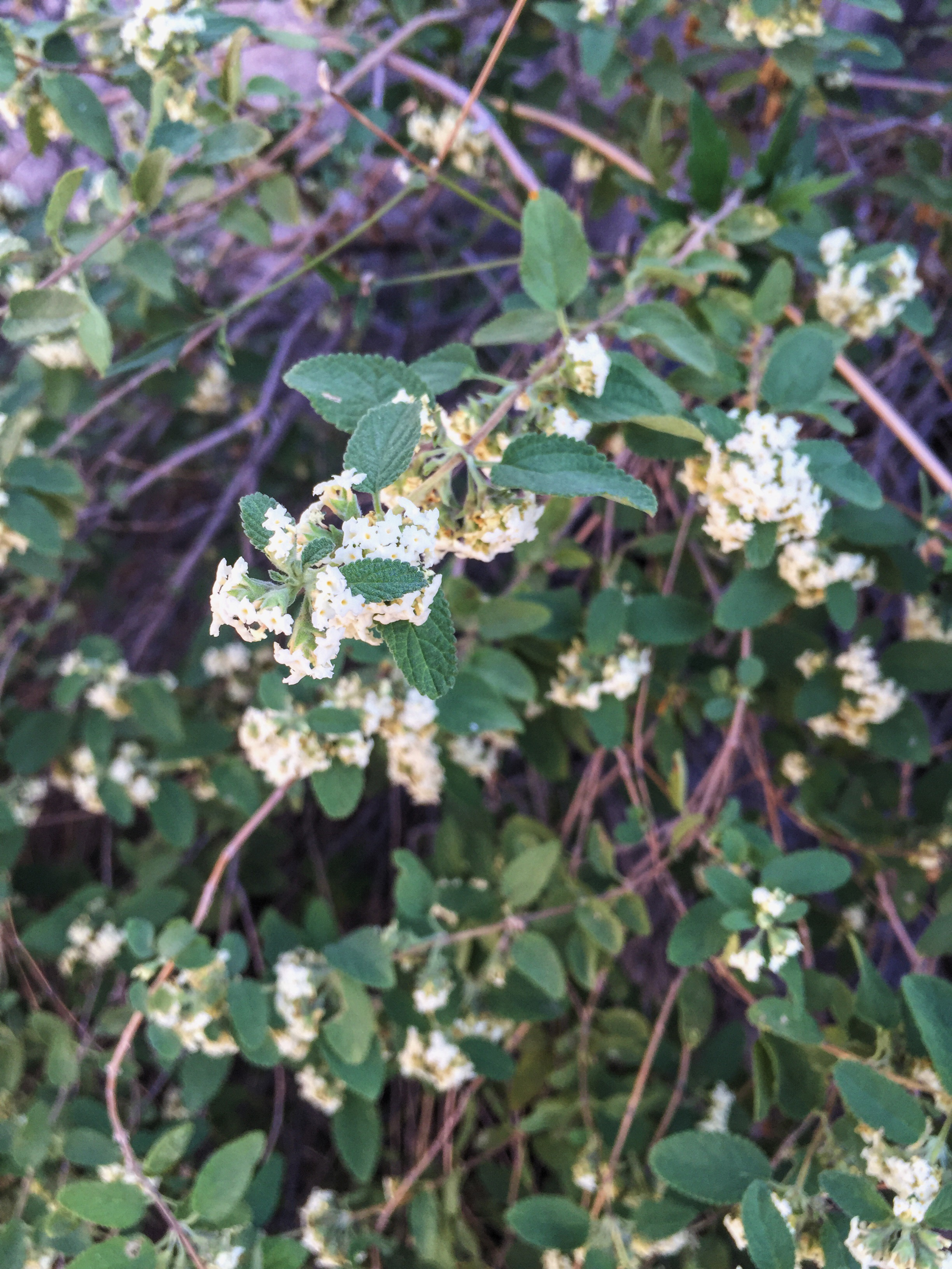 Lantana achyranthifolia