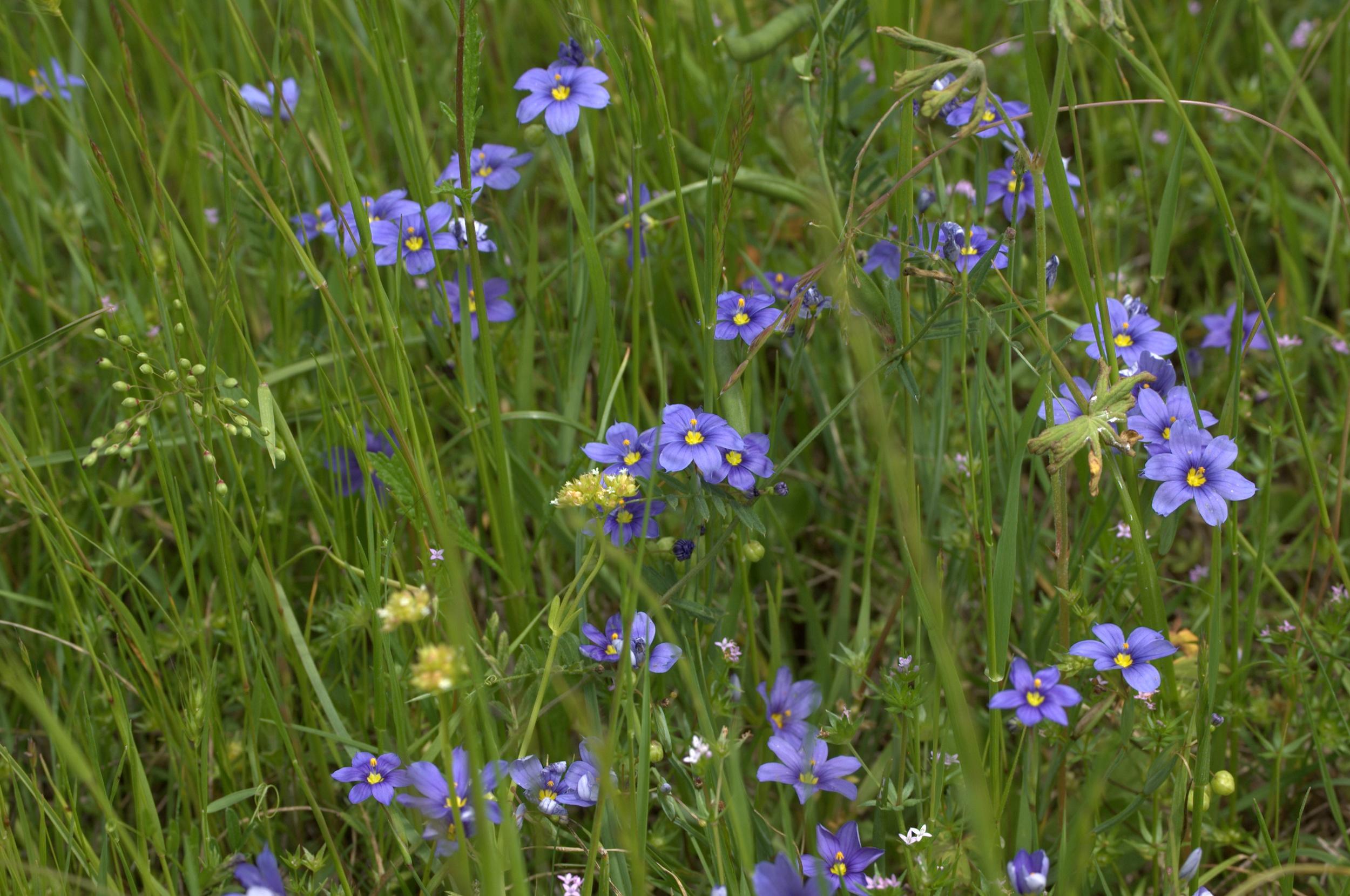 Sisyrinchium angustifolium, Blue Eyed Grass