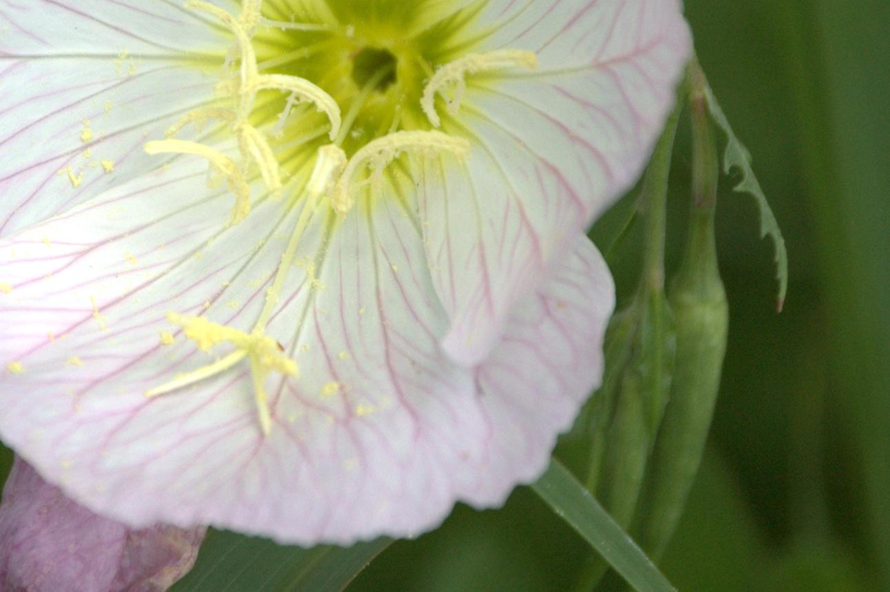 Oenothera speciosa, Showy Primrose