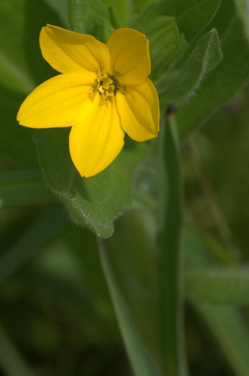 Lindheimera texana, Texas Yellow Star