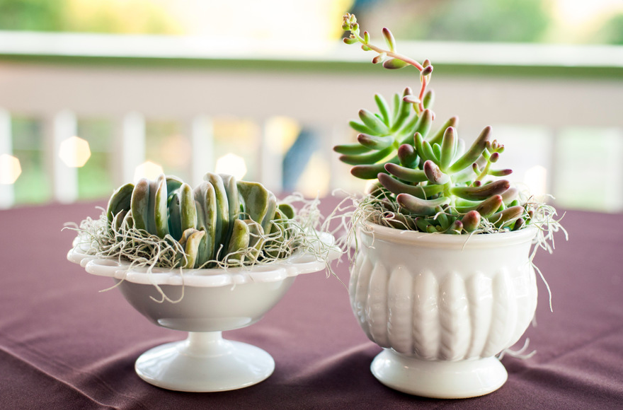 Milk glass and succulents with fresh Spanish moss for cocktail tables.