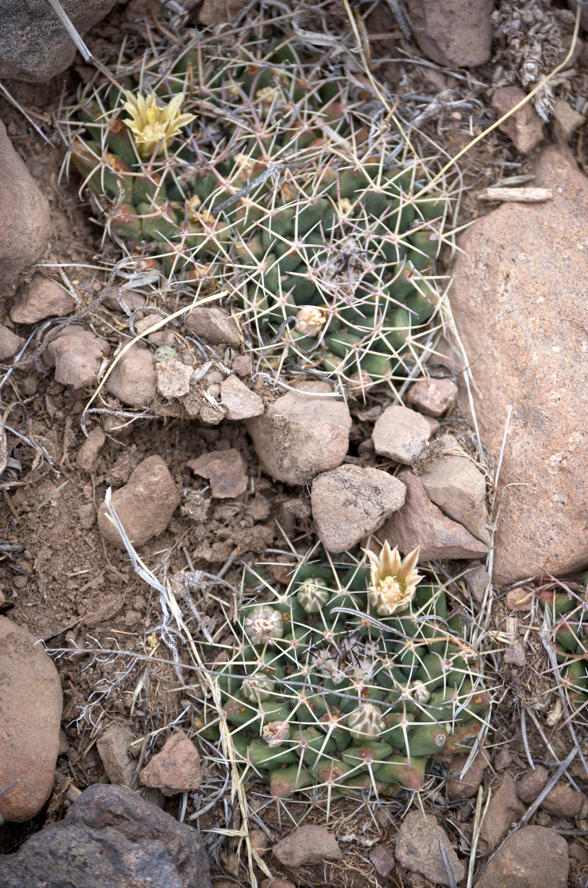 Mammillaria meiacantha