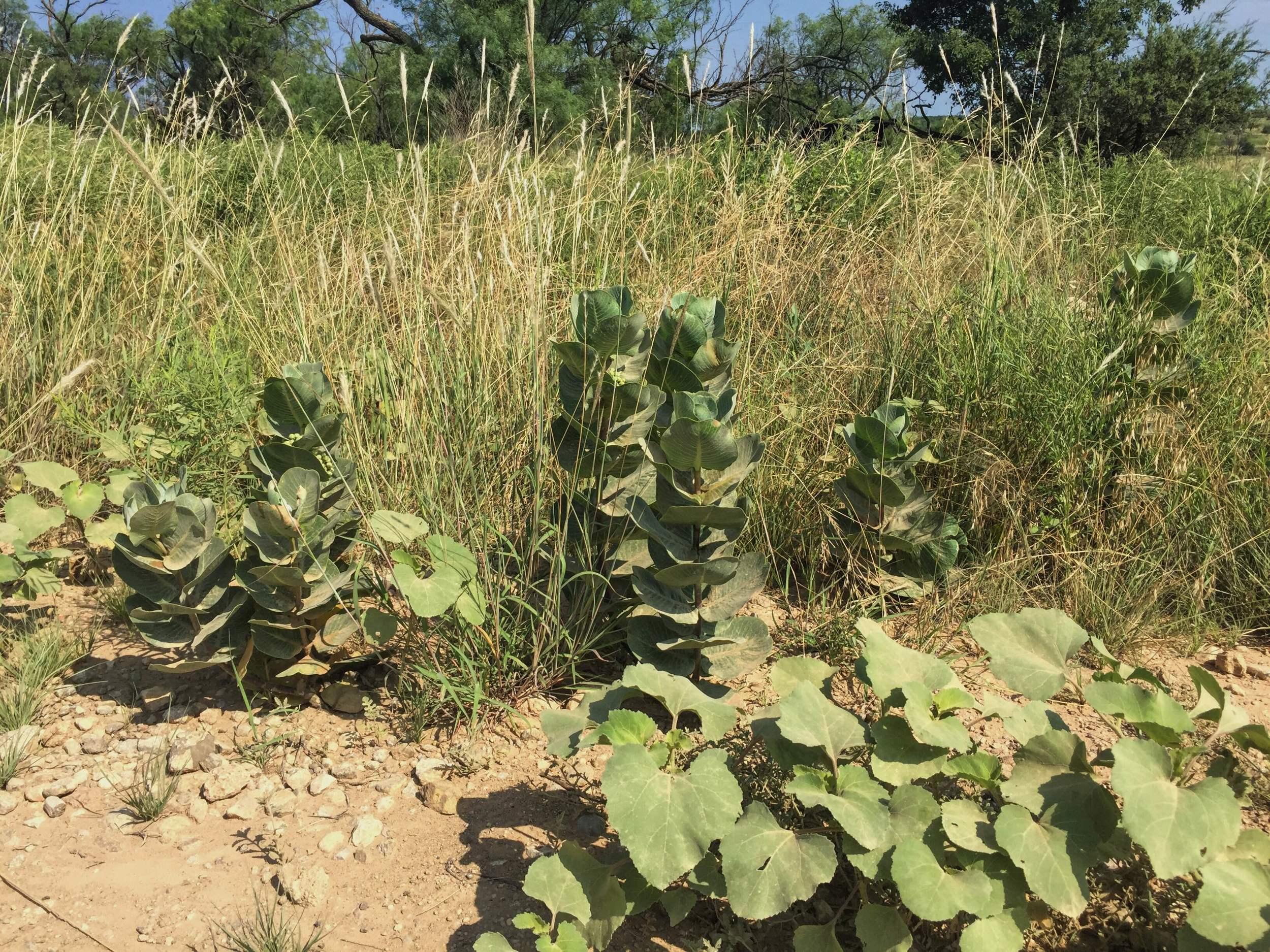 Asclepias latifolia