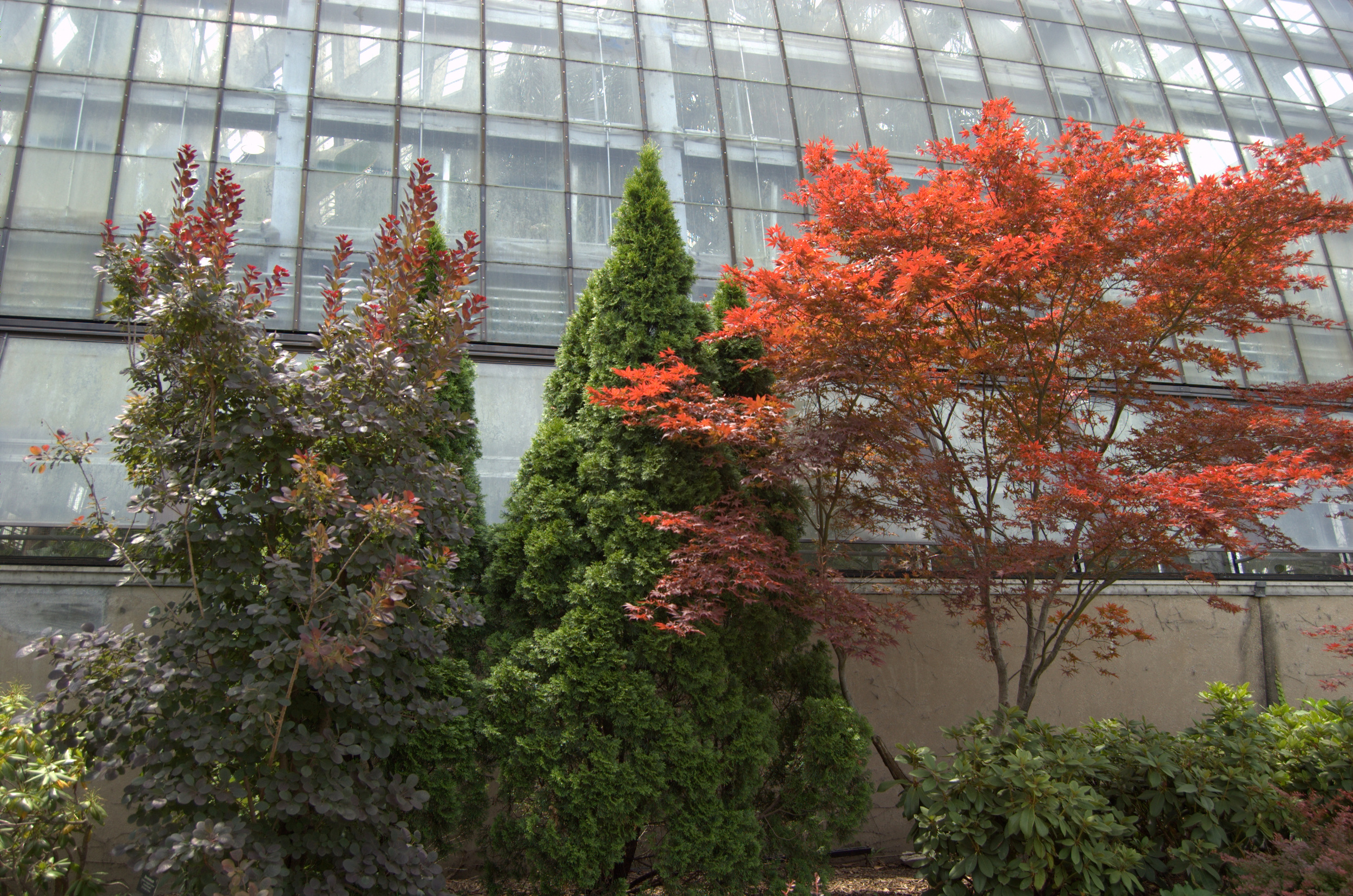 Smokebush and Japanese Maple