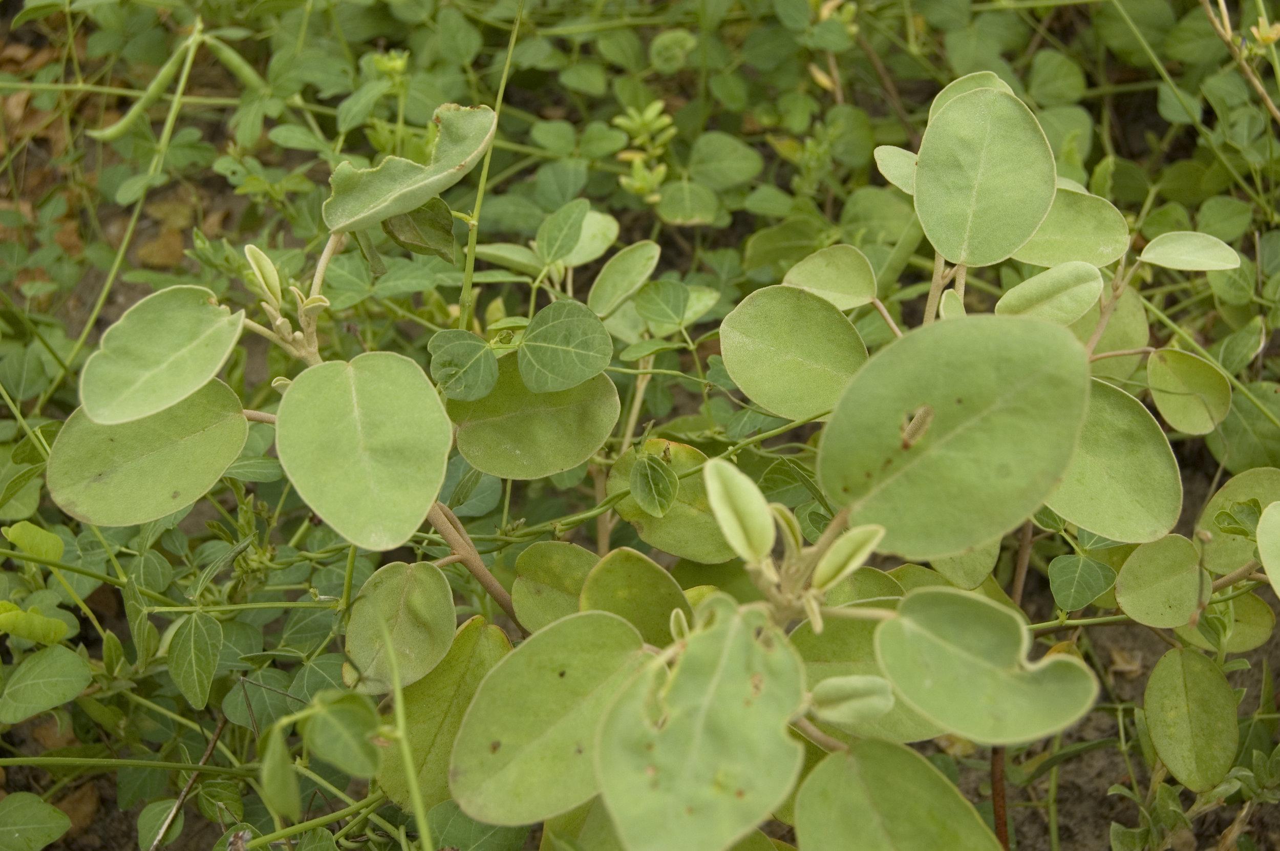 Croton punctatus, Gulf Croton