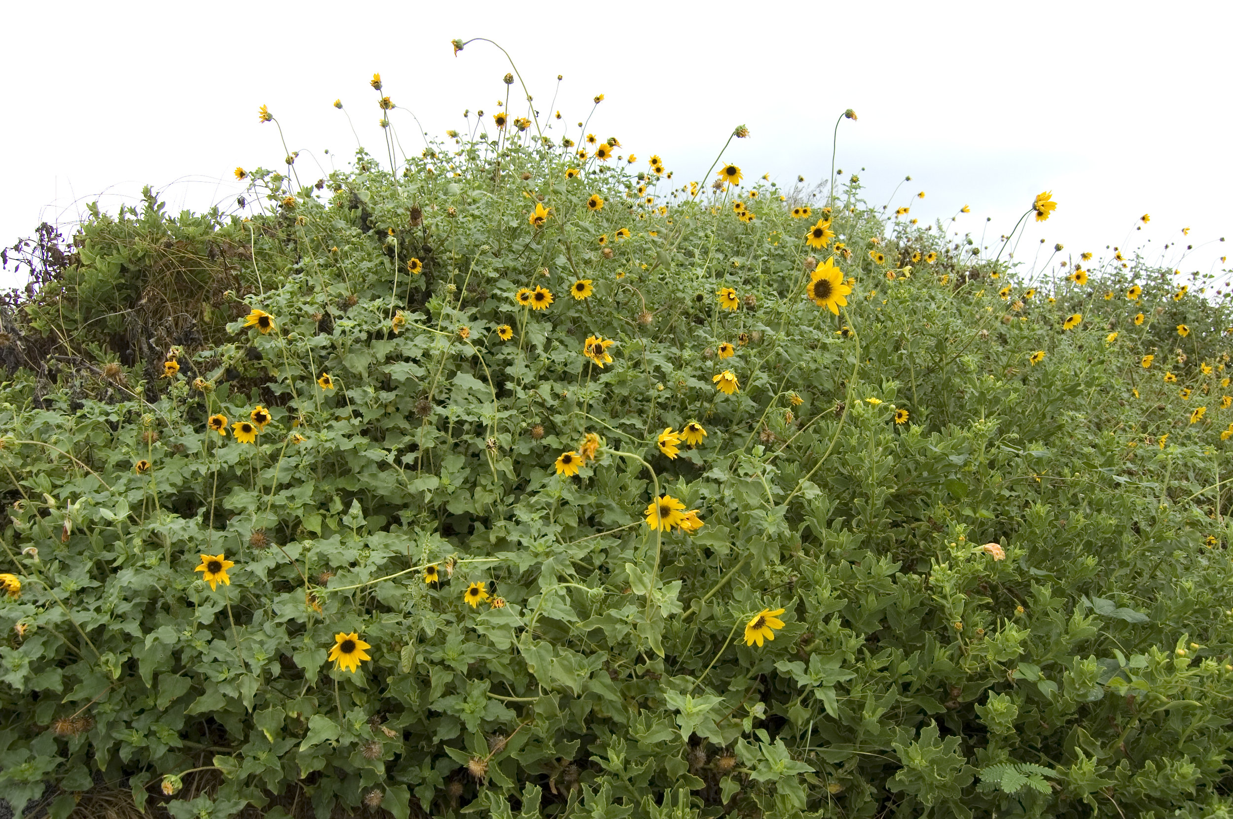 Helianthus debilis, Beach Sunflower