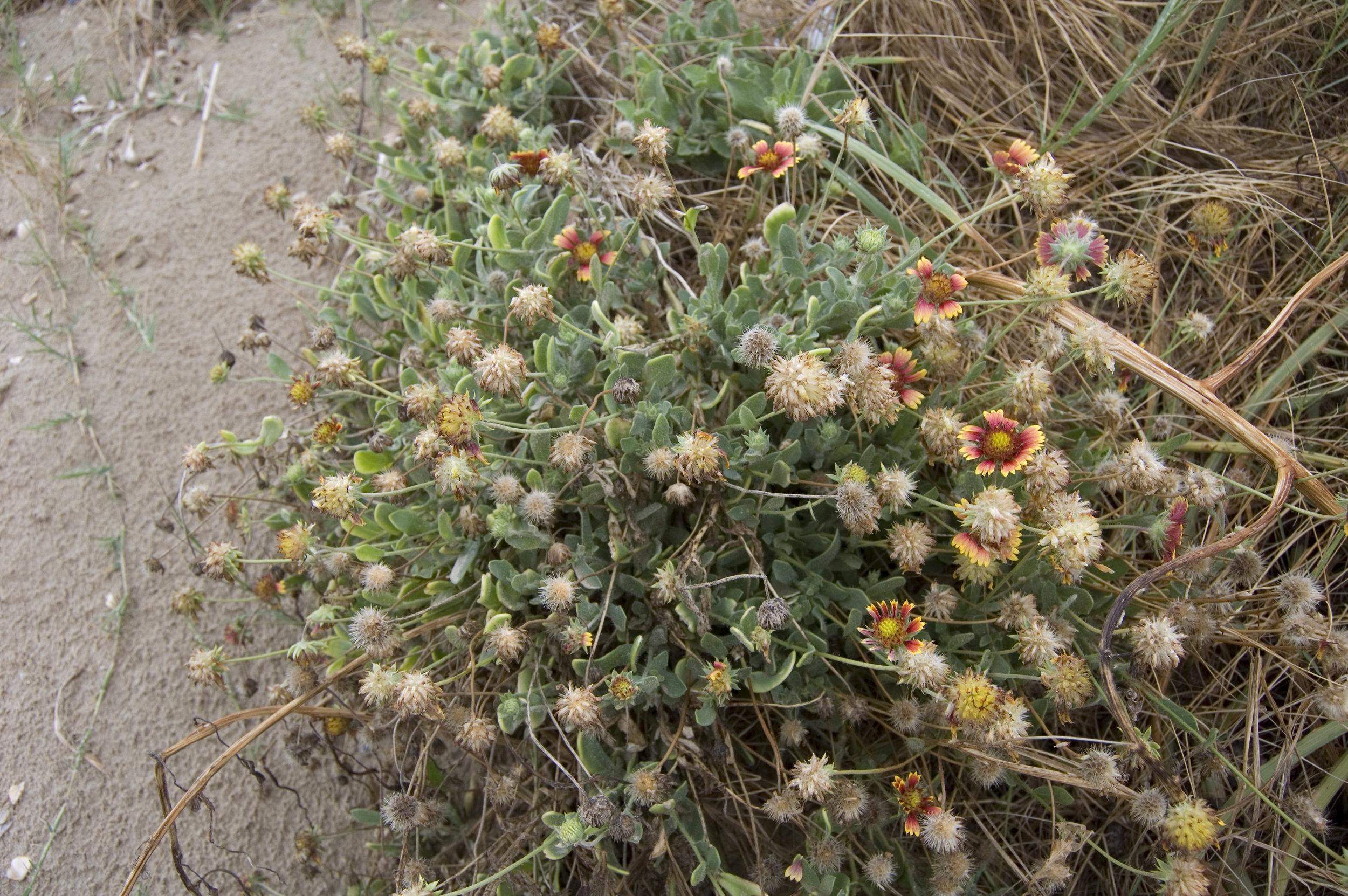 Gaillardia pulchella, Indian Blanket