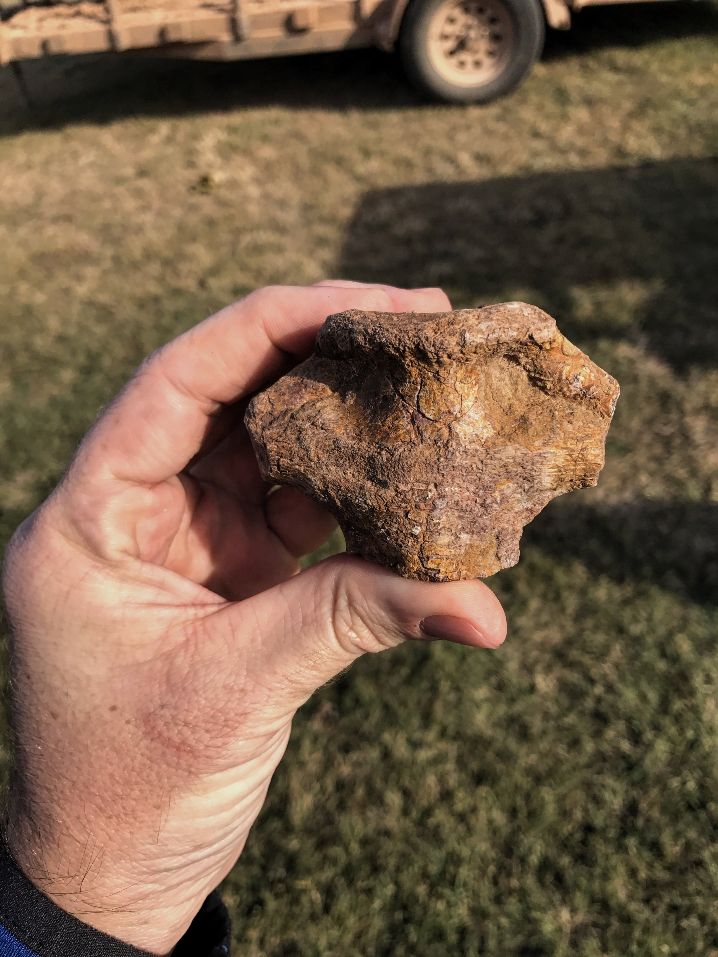 Dimetrodon vertebra