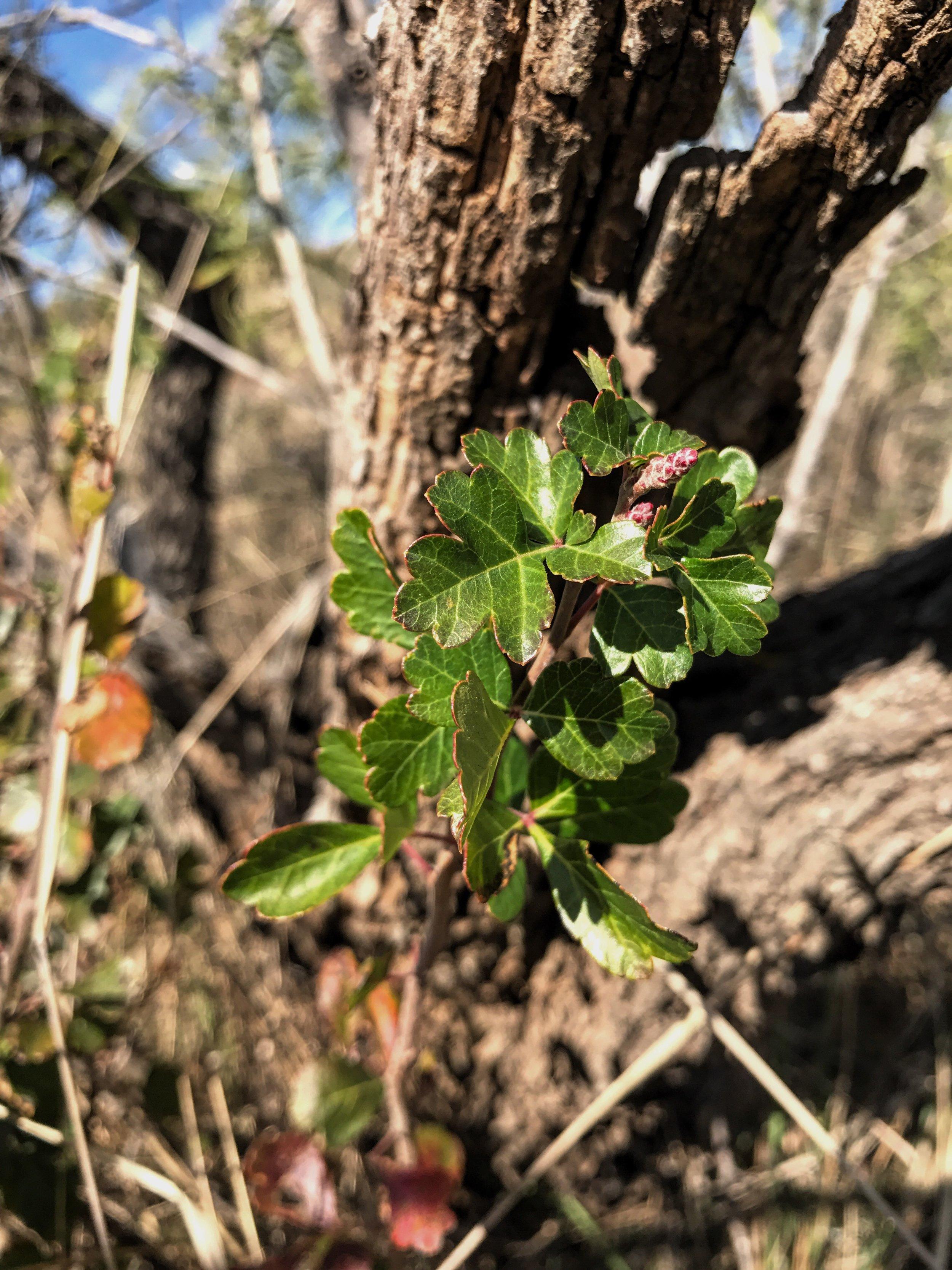 Rhus aromatica, Fragrant Sumac