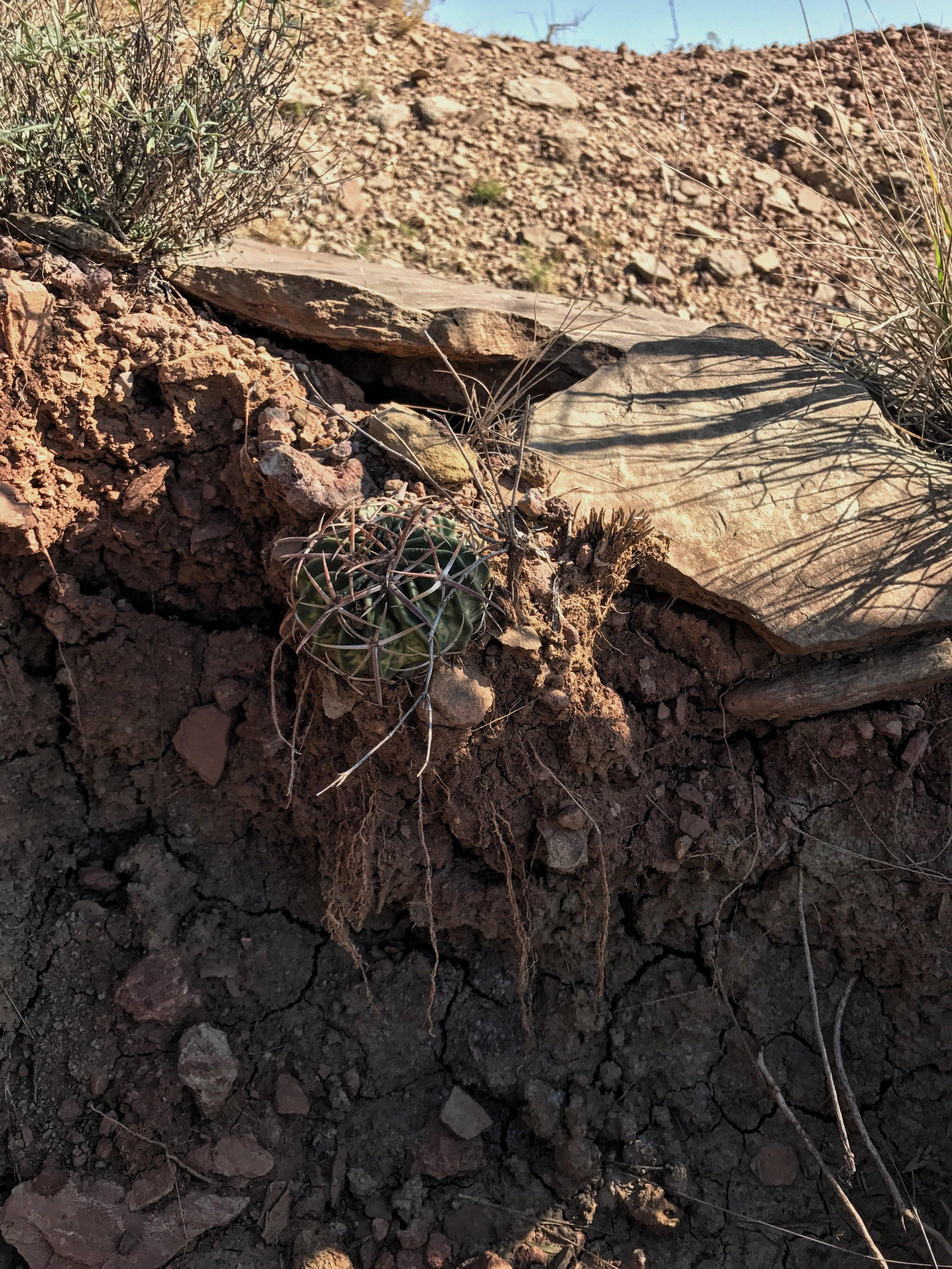 Echinocactus texensis, Horsecrippler Cactus