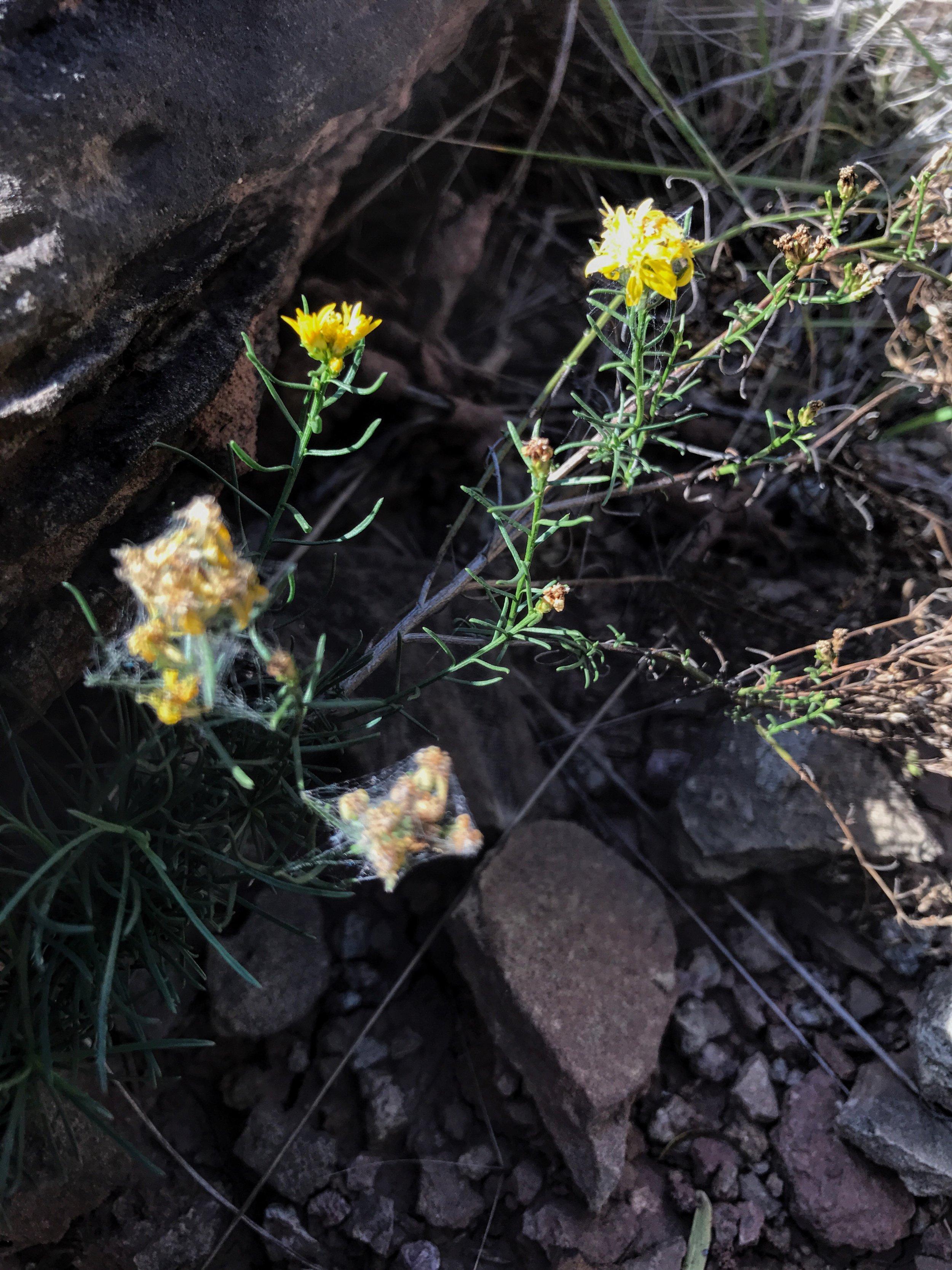 Gutierrezia sarothrae, Broom Snakeweed