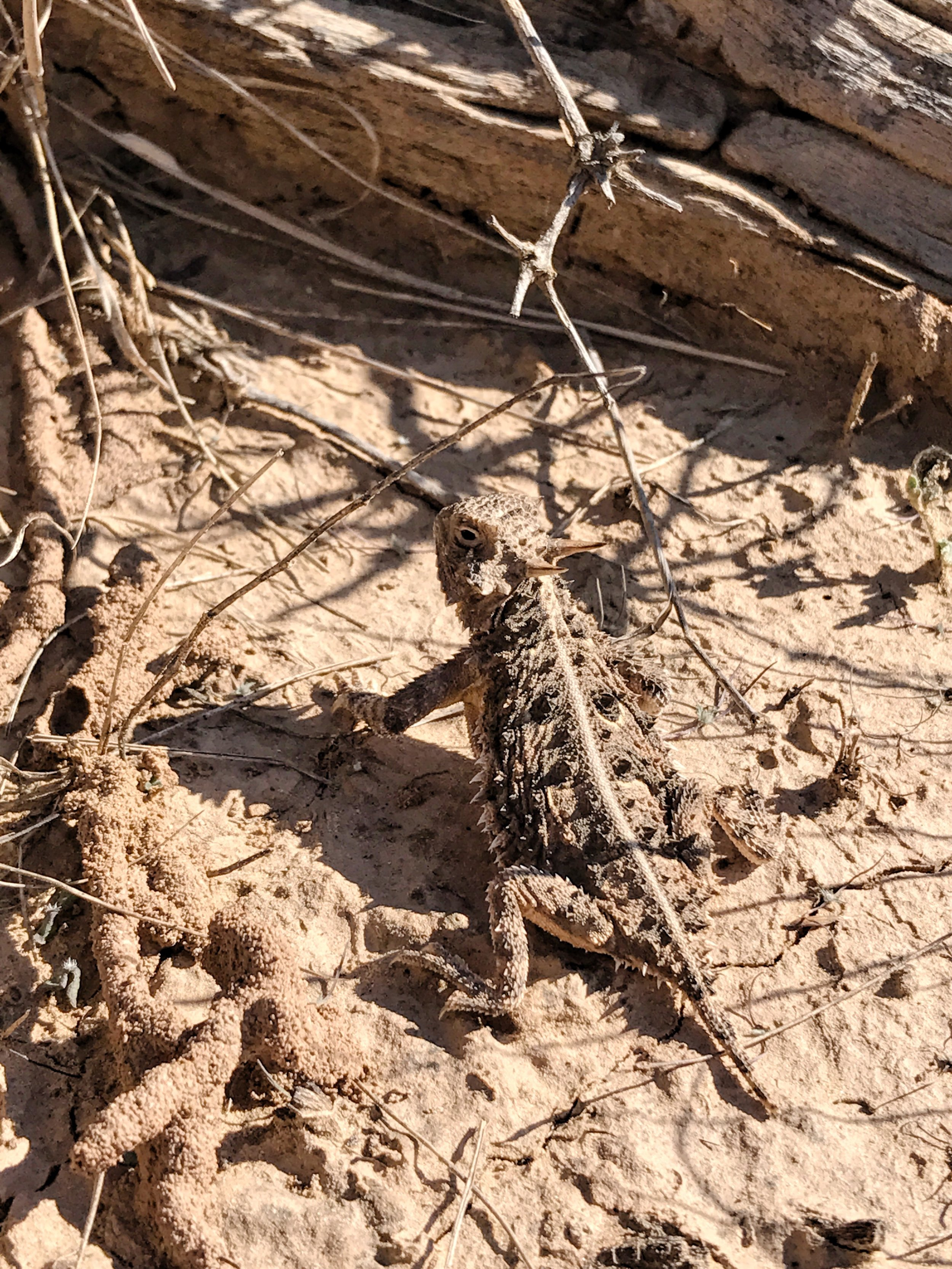 Phrynosoma cornutum, Texas Horned Lizard