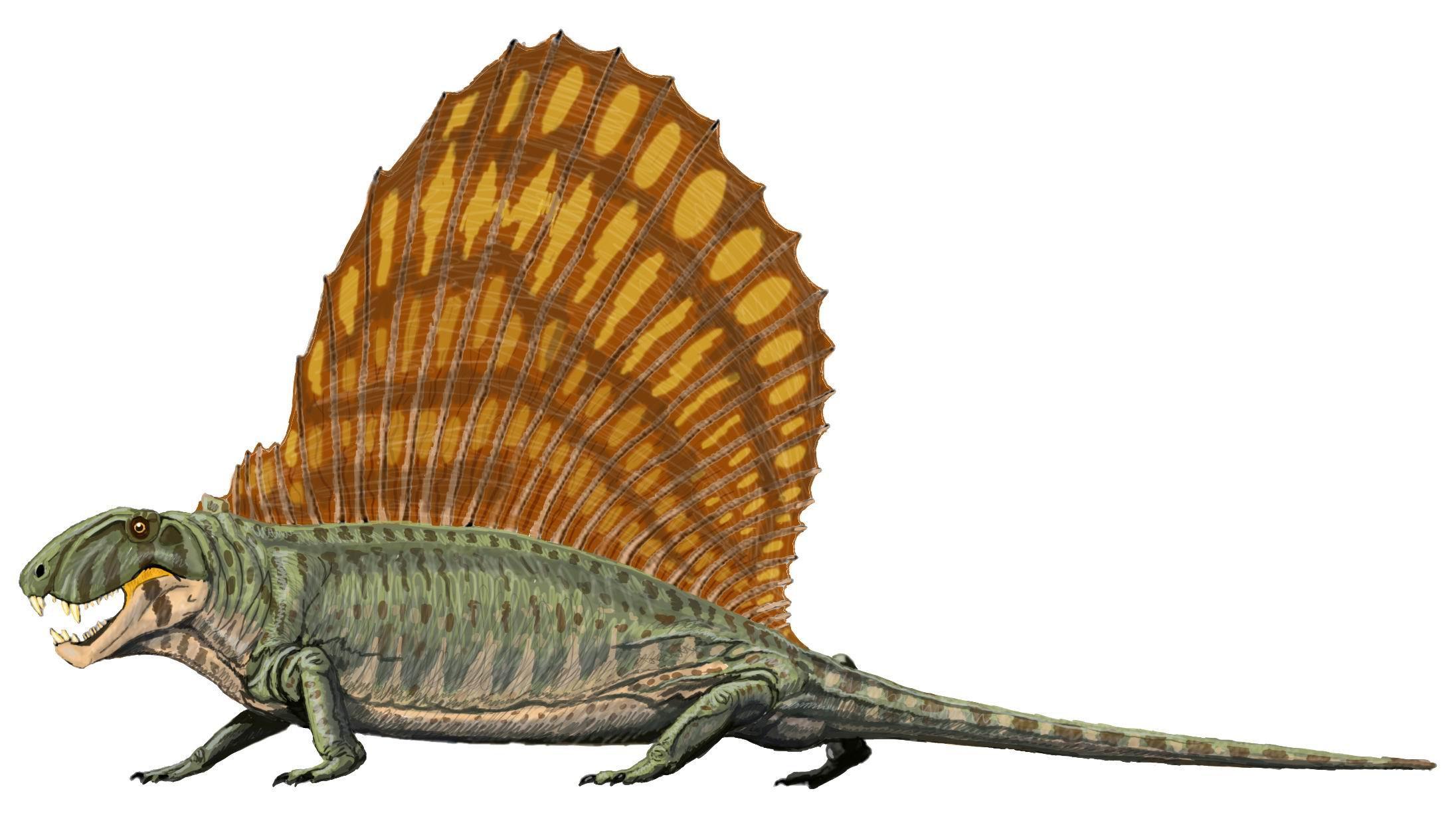 Source:https://commons.wikimedia.org/wiki/File:Dimetrodon_grandis.jpg Dimetrodon illustration