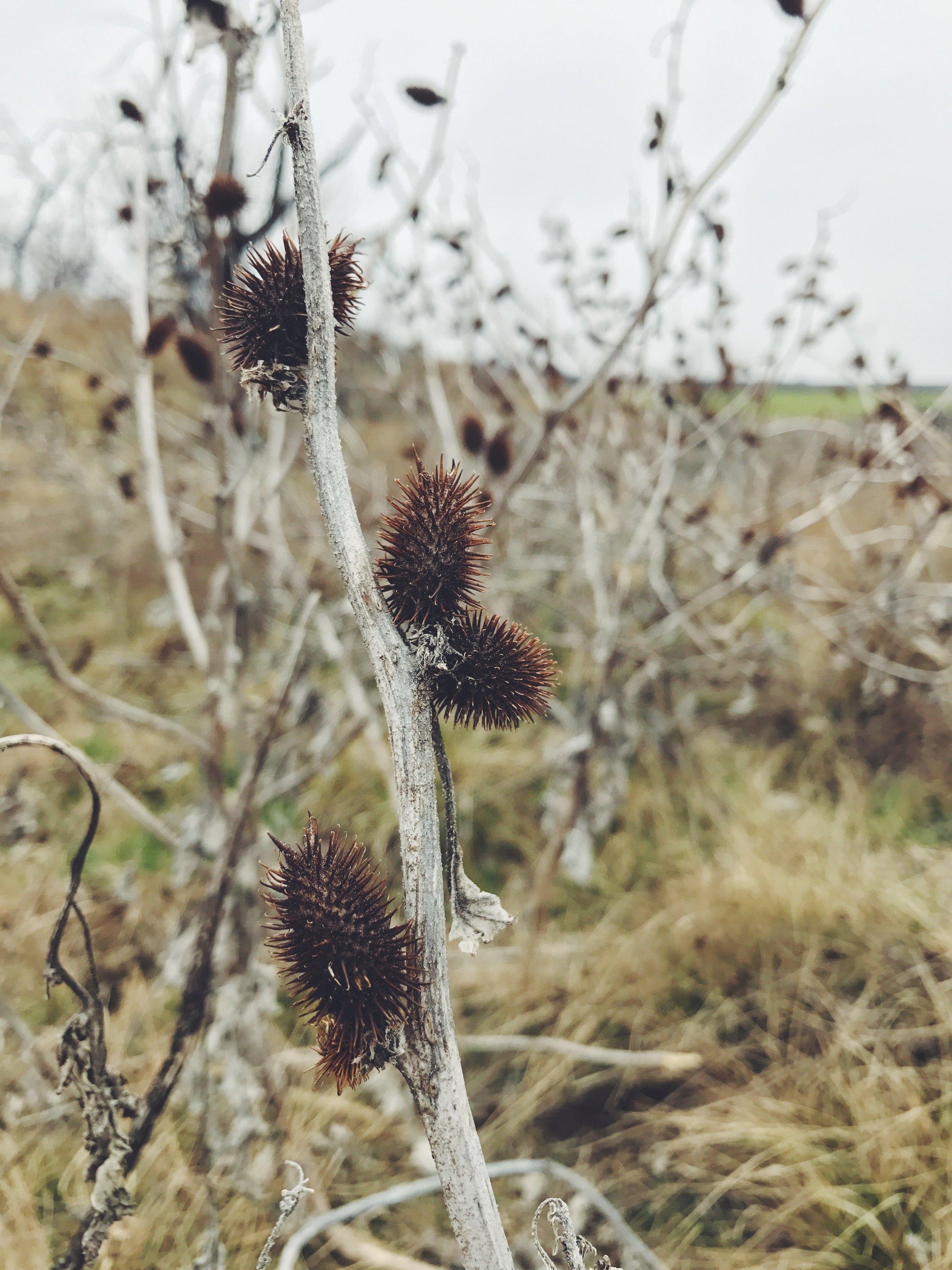 Xanthium strumarium, Cocklebur