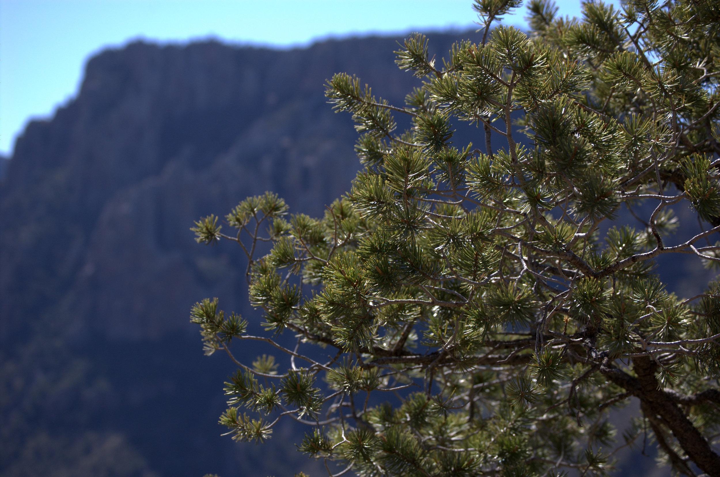 Pinus cembroides, Mexican Pinyon Pine