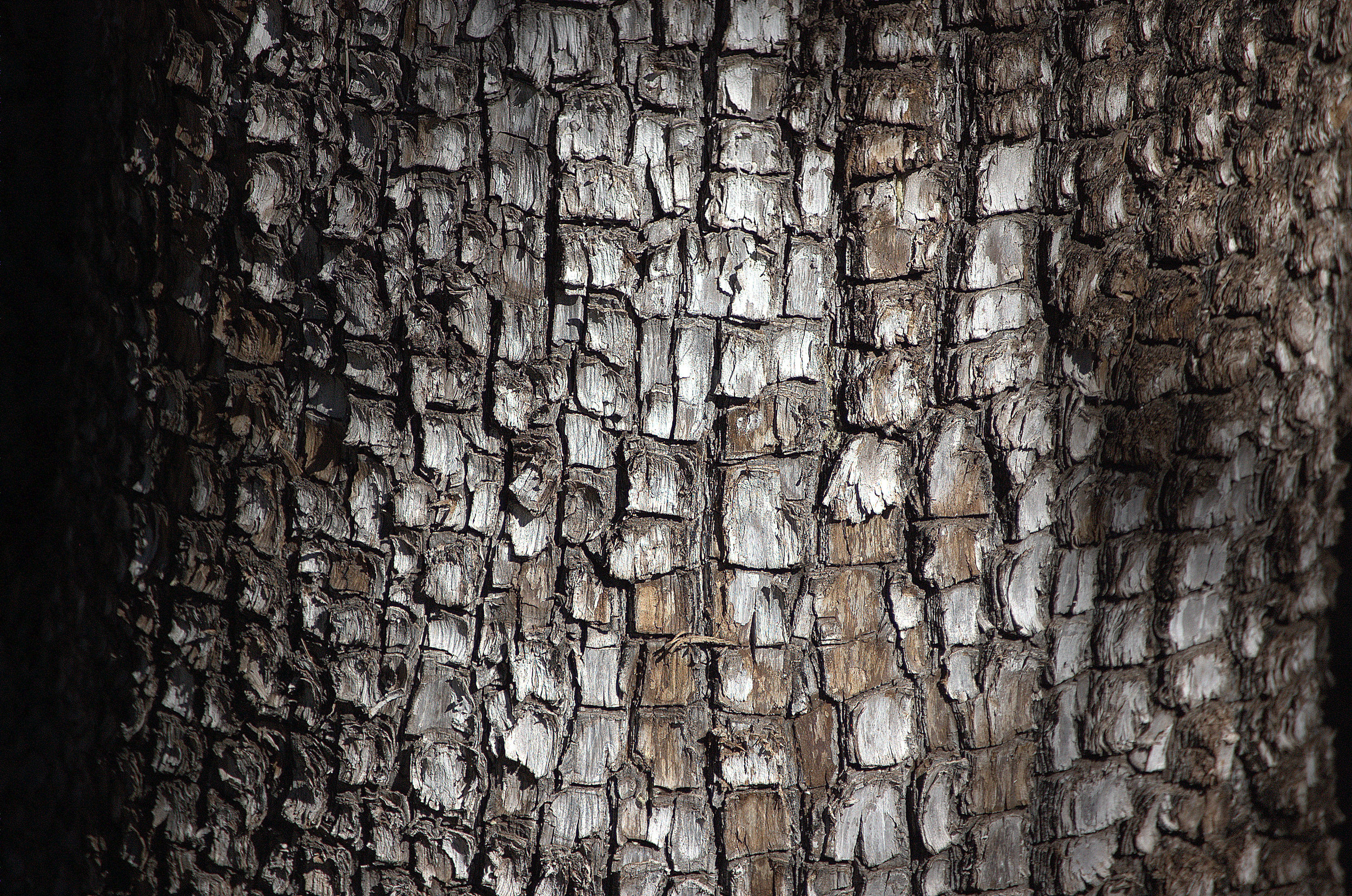 Juniperus deppeana, Alligator Juniper
