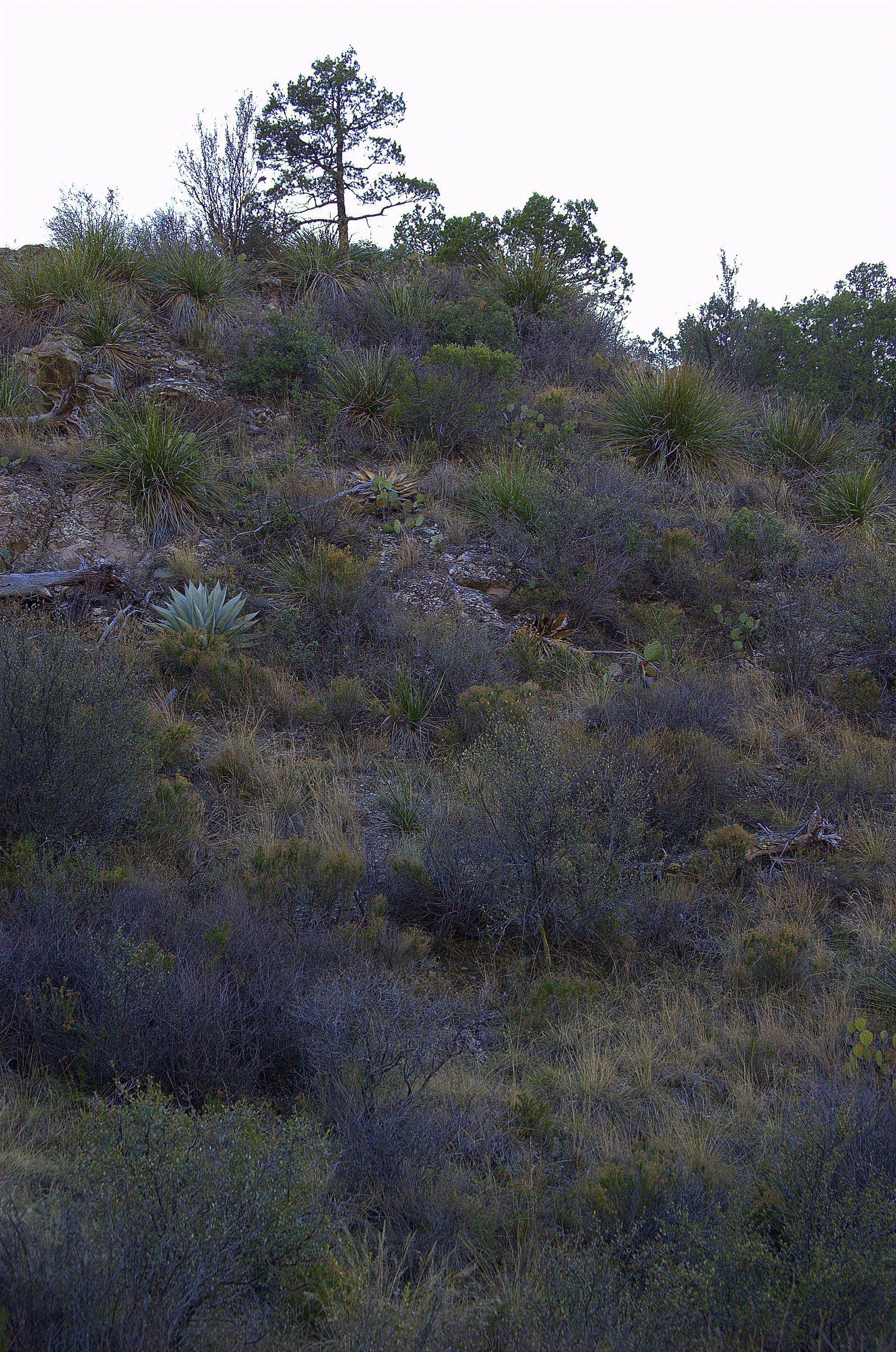 Agave havardiana on a slope