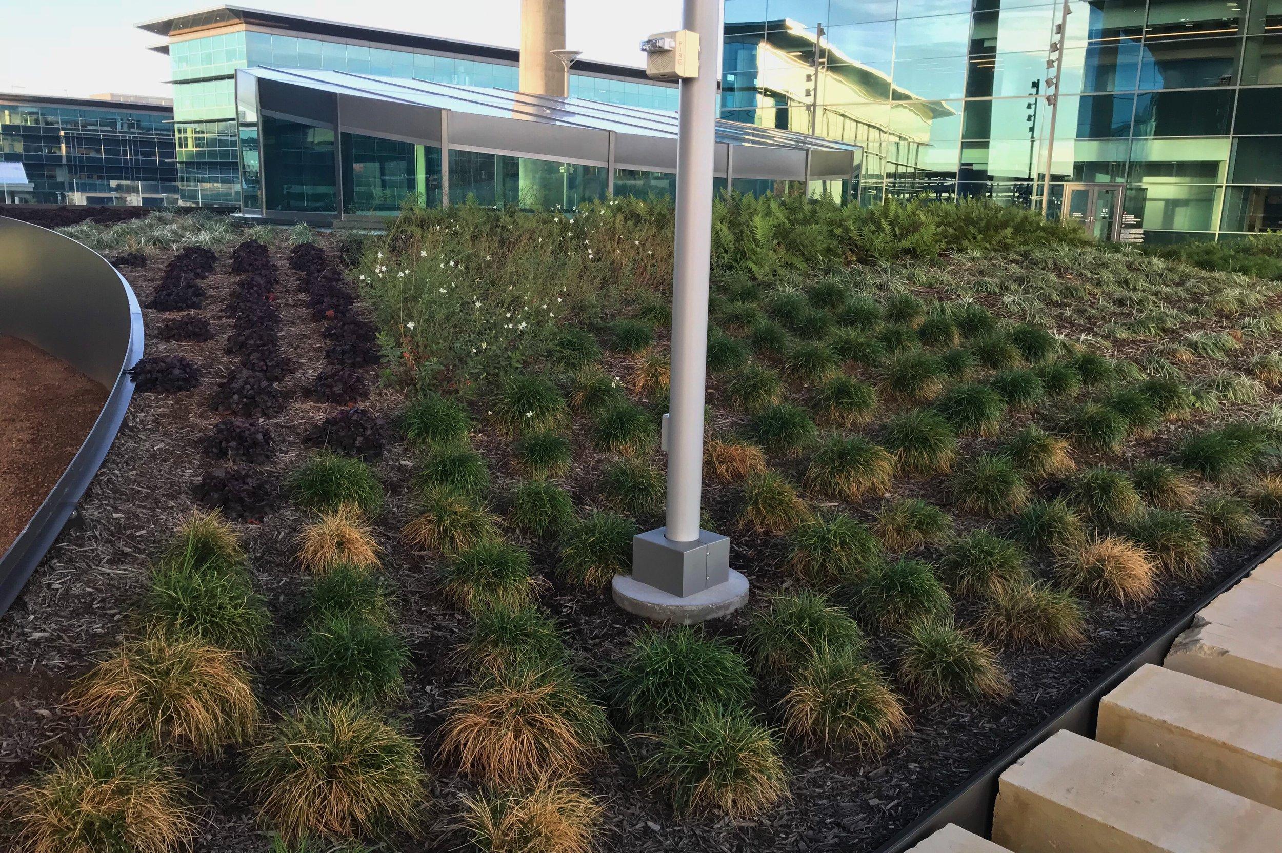 Rooftop garden with Heuchera sp. Coral Bells; Carex divulsa, Berkeley Sedge; and Gaura sp.