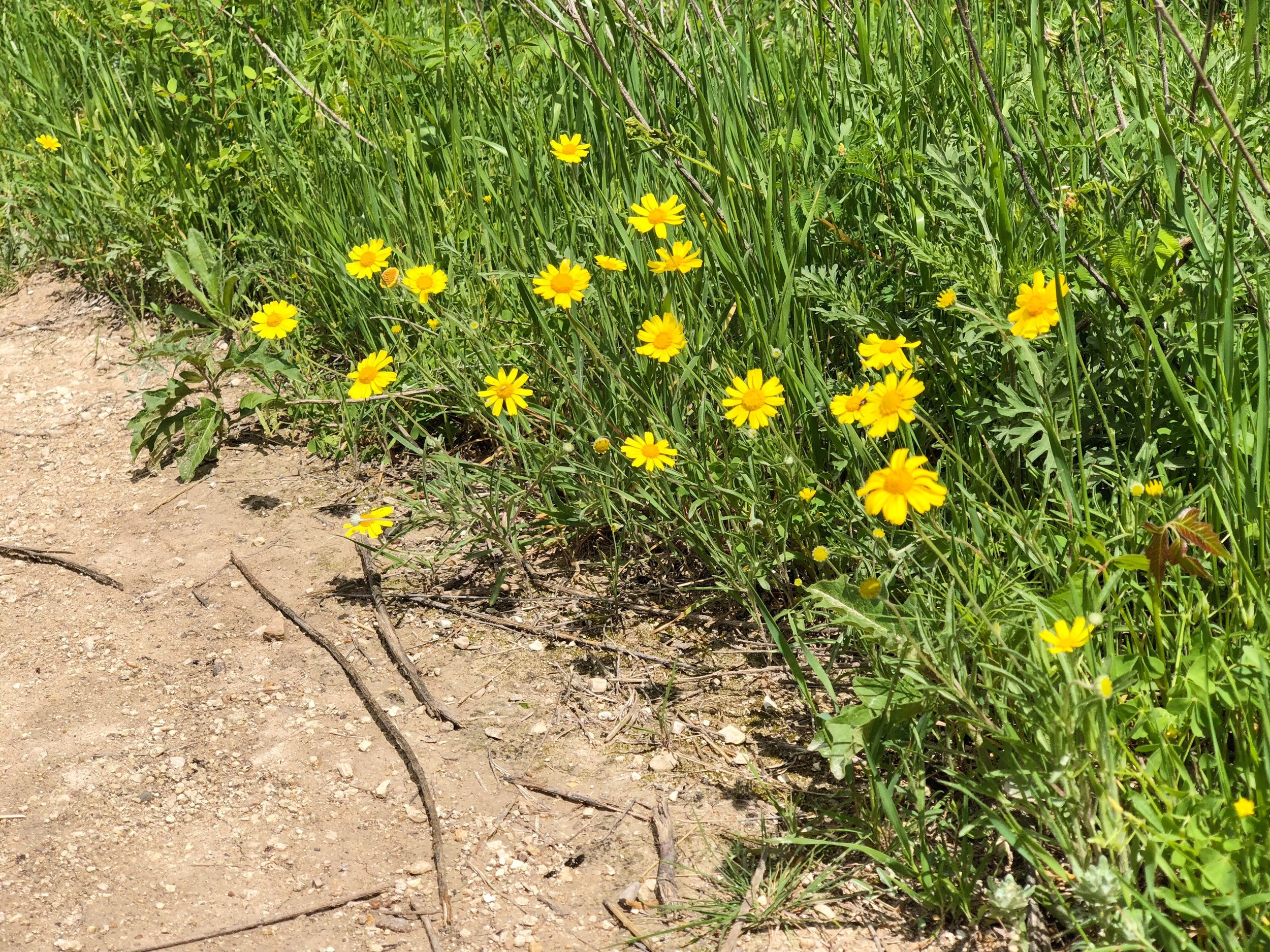 Tetraneuris scaposa var. scaposa, Four nerve daisy