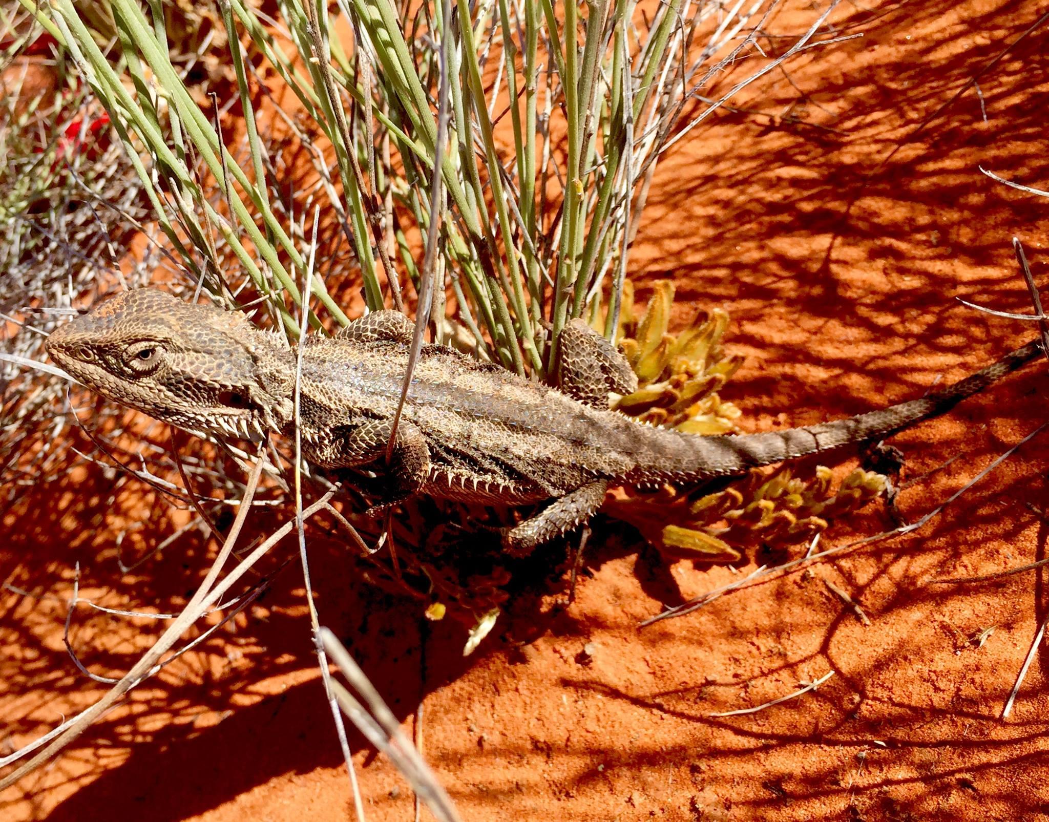 Une autre version du Lézard diable dans les territoires Aborigènes © Photo : Aboriginal Signature • Estrangin Gallery