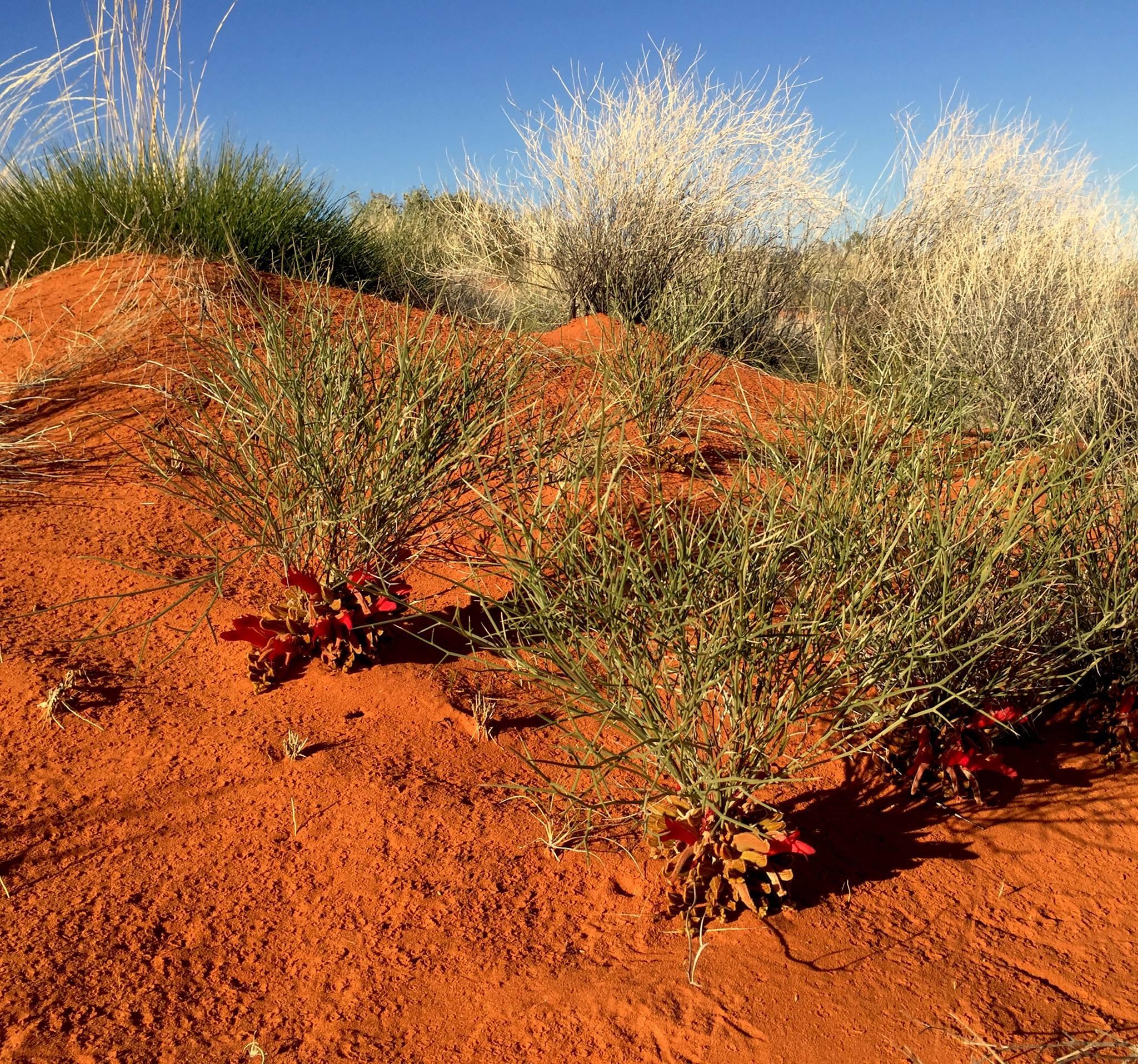 Au creux des dunes de sable, les fleurs ont la tête à l'envers. © Photo : Aboriginal Signature • Estrangin Gallery