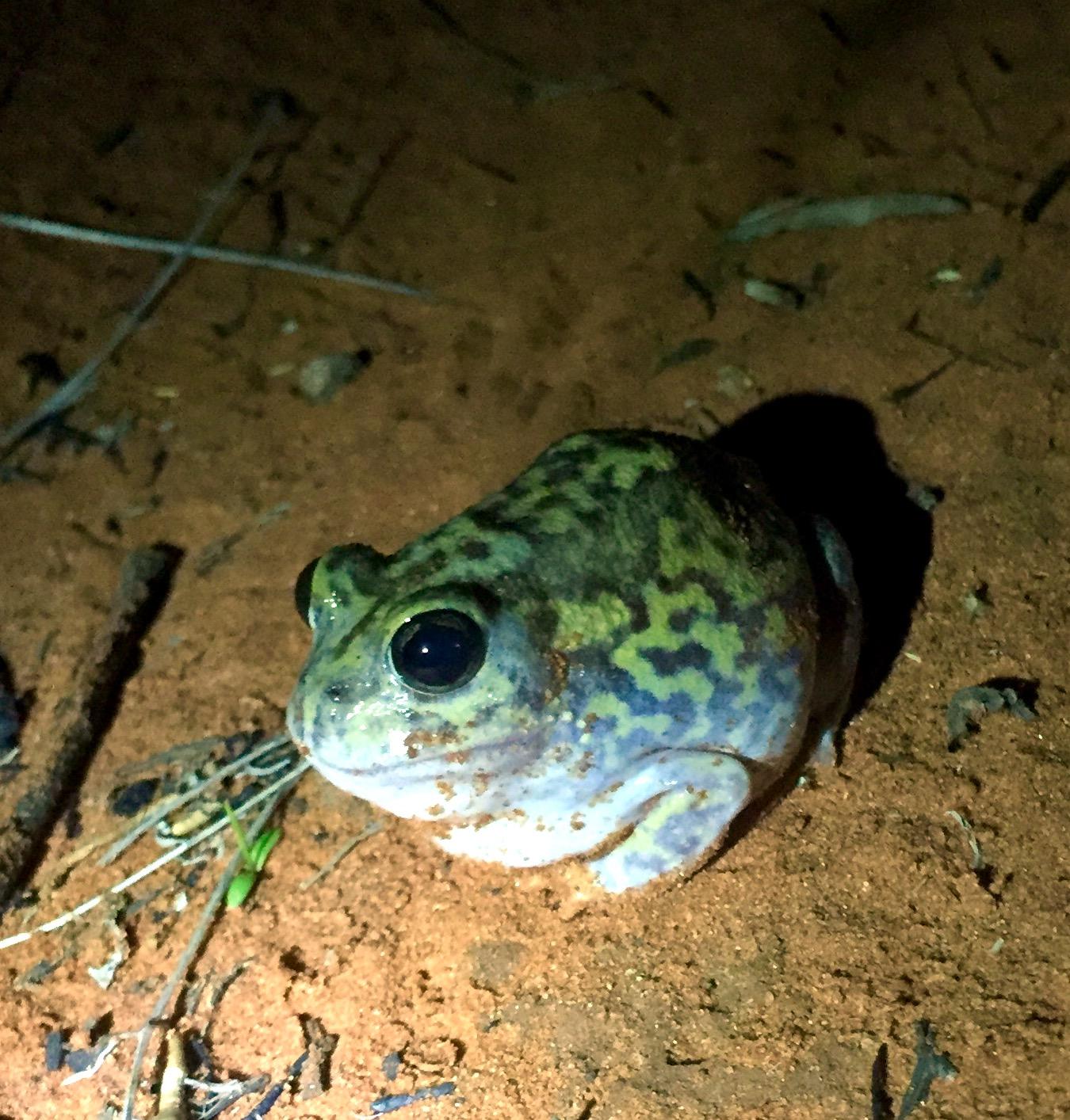 grenouille-désert-aborigène