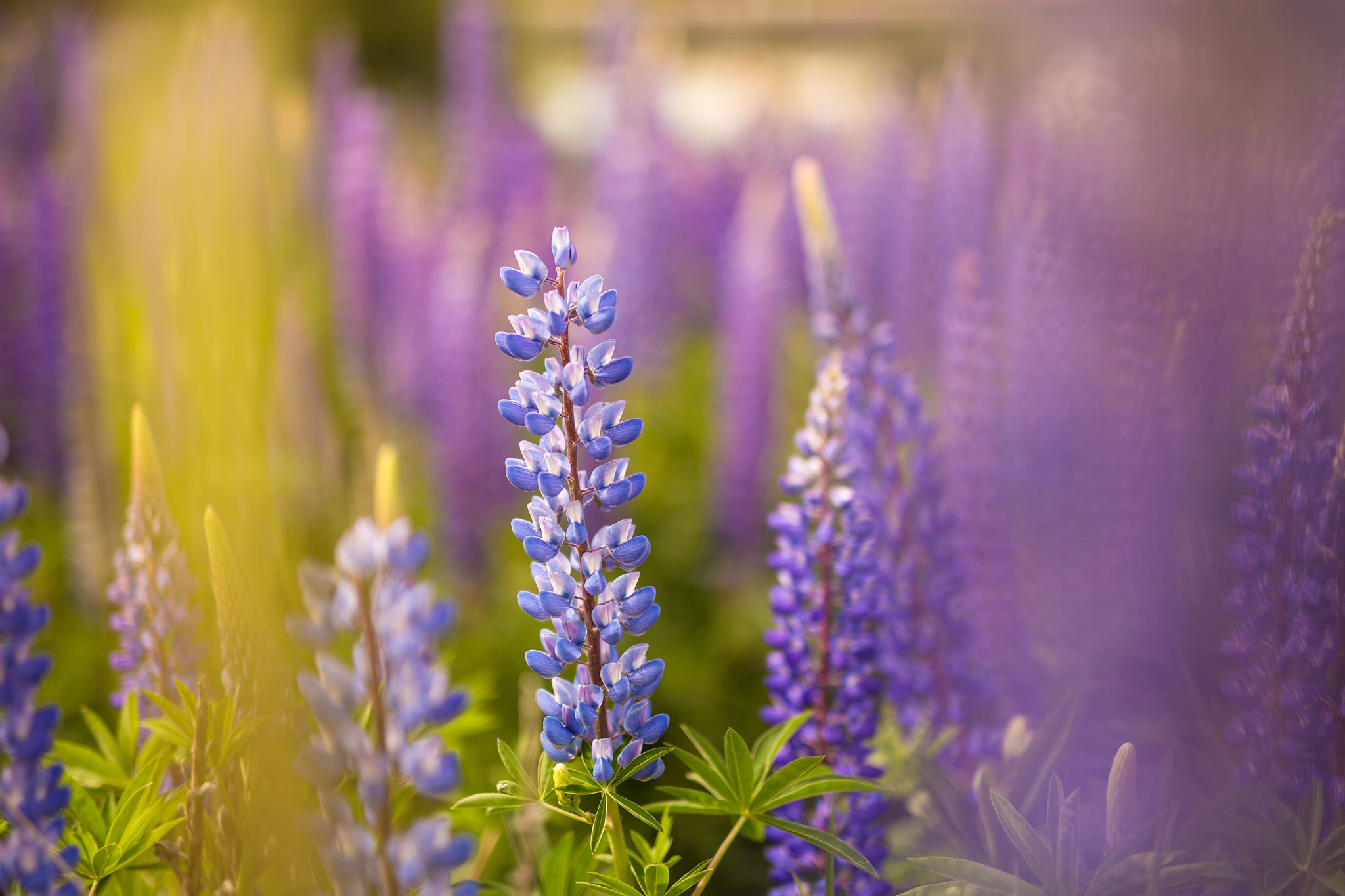 lupinus-lupin-lupine-violet-flower-chile