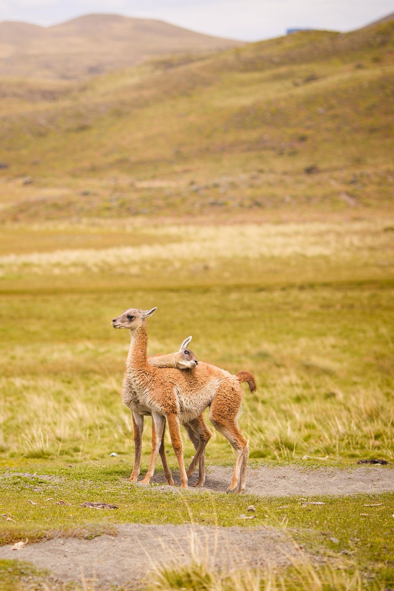 Wedding-Travellers-Overlanding-Destination-Wedding-Chile-Torres-del-Paine-cute-guanaco-llama-lama-baby