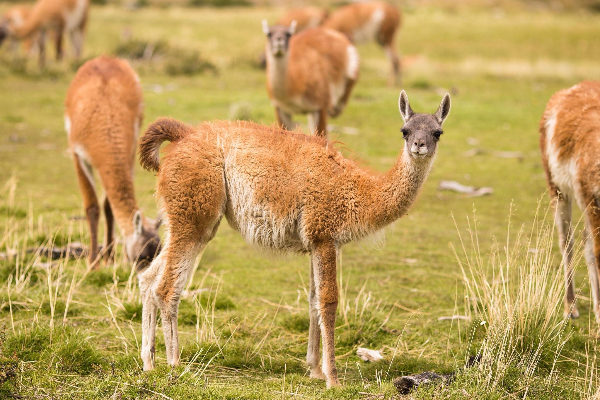 Wedding-Travellers-Overlanding-Destination-Wedding-Chile-Torres-del-Paine-guanaco-lama-llama-tres-torres-cute
