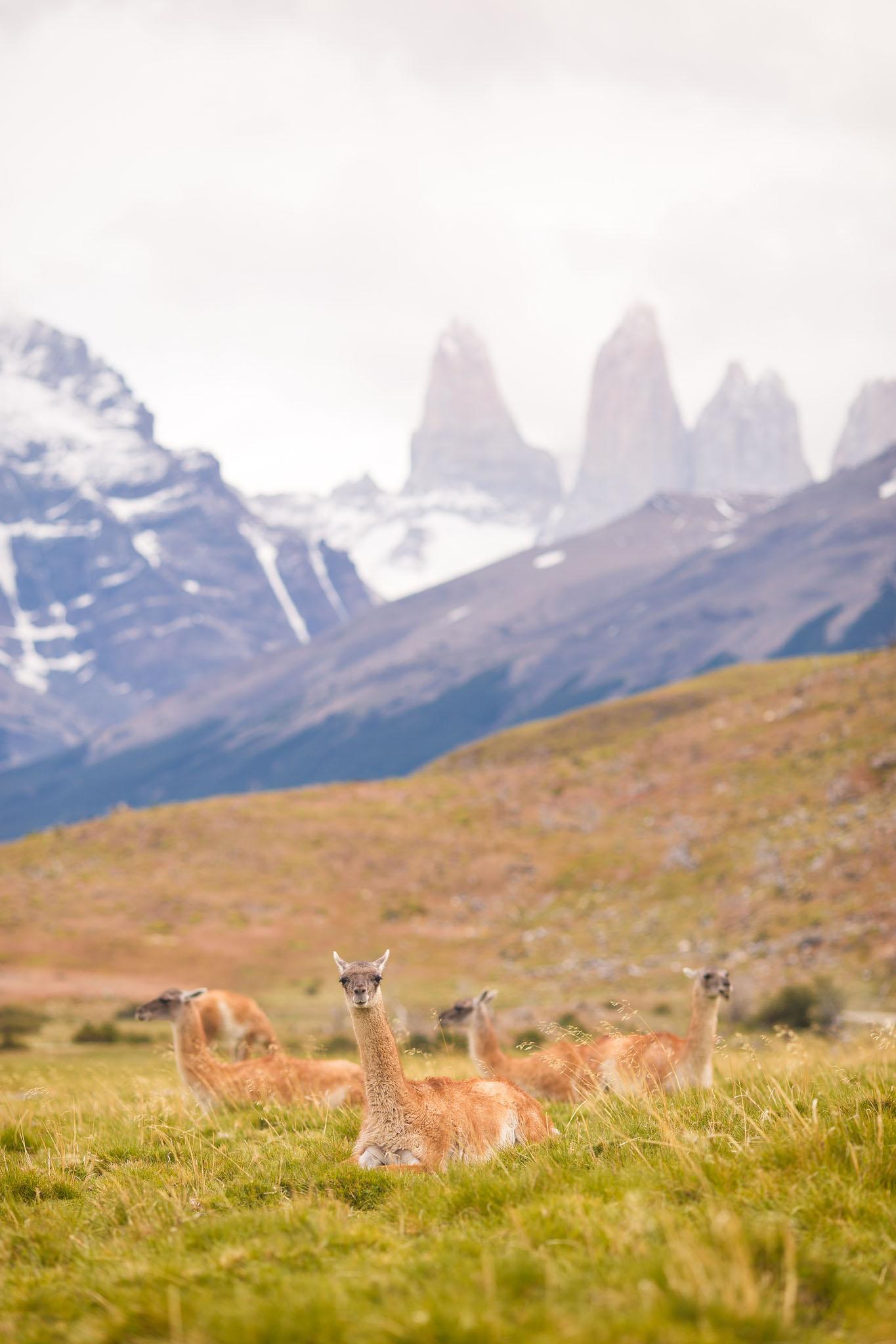 Wedding-Travellers-Overlanding-Destination-Wedding-Chile-Torres-del-Paine-guanaco-lama-llama-tres-torres