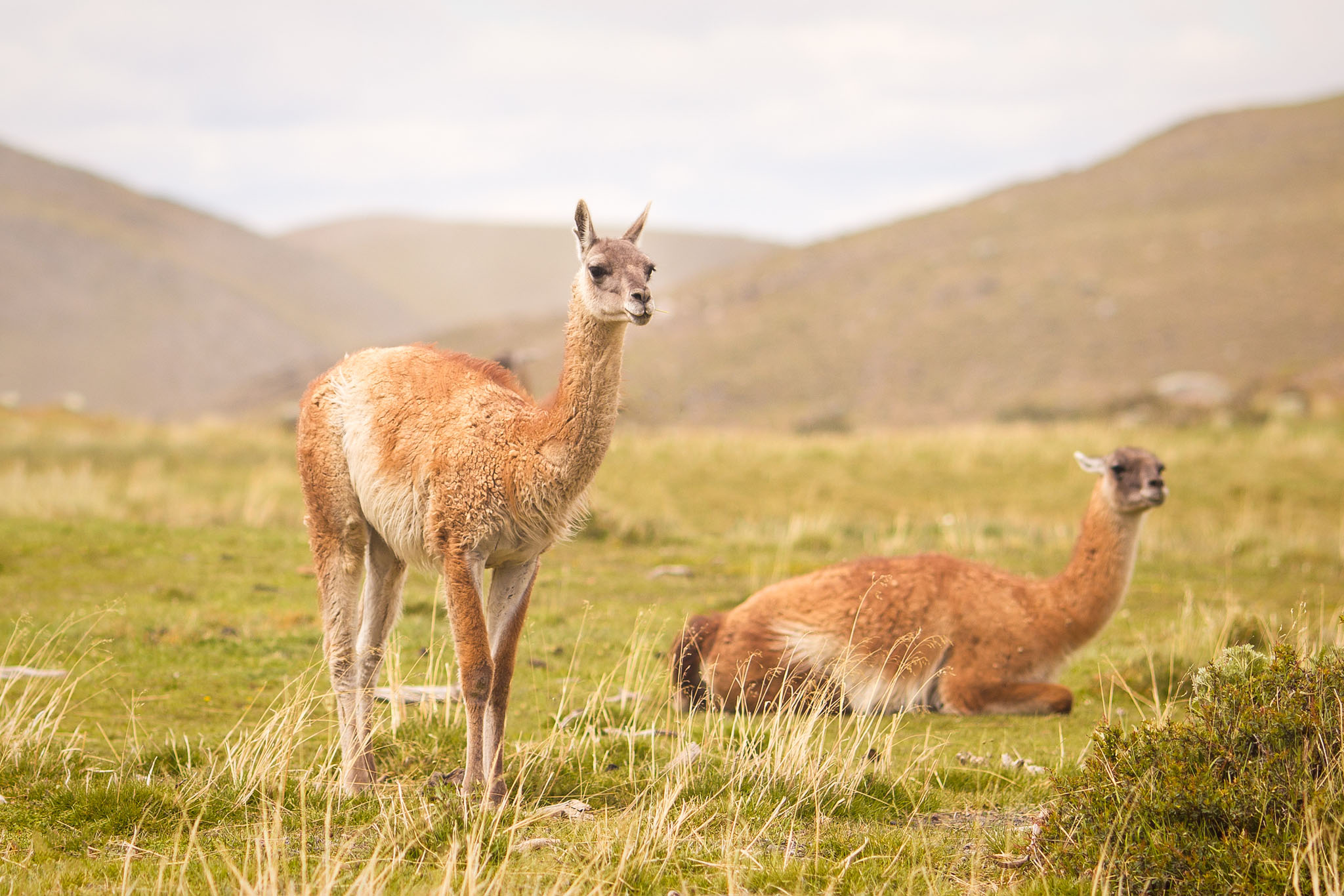 Wedding-Travellers-Overlanding-Destination-Wedding-Chile-Torres-del-Paine-chewing-llama-guanaco