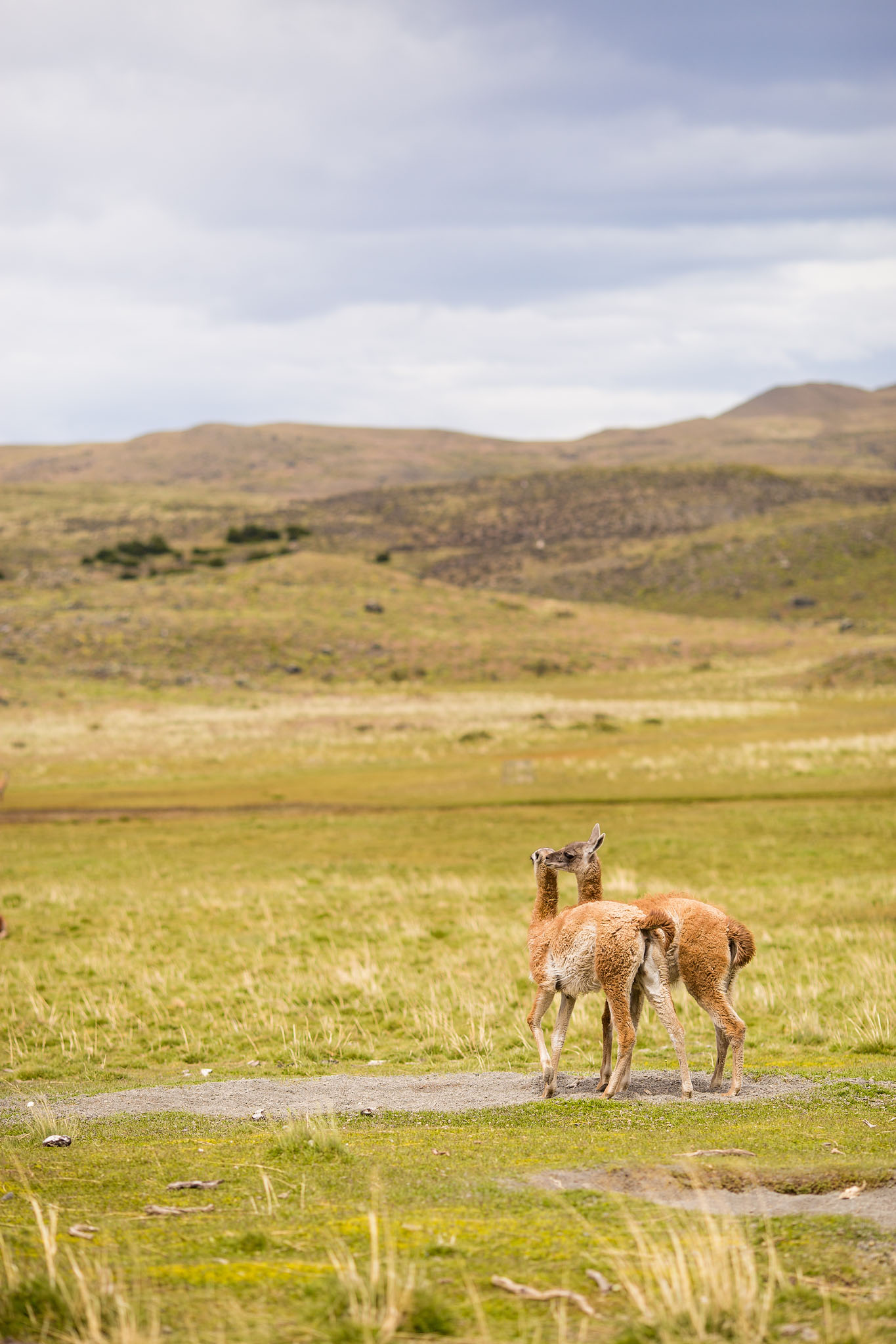 Wedding-Travellers-Overlanding-Destination-Wedding-Chile-Torres-del-Paine-guanaco-llama-lama
