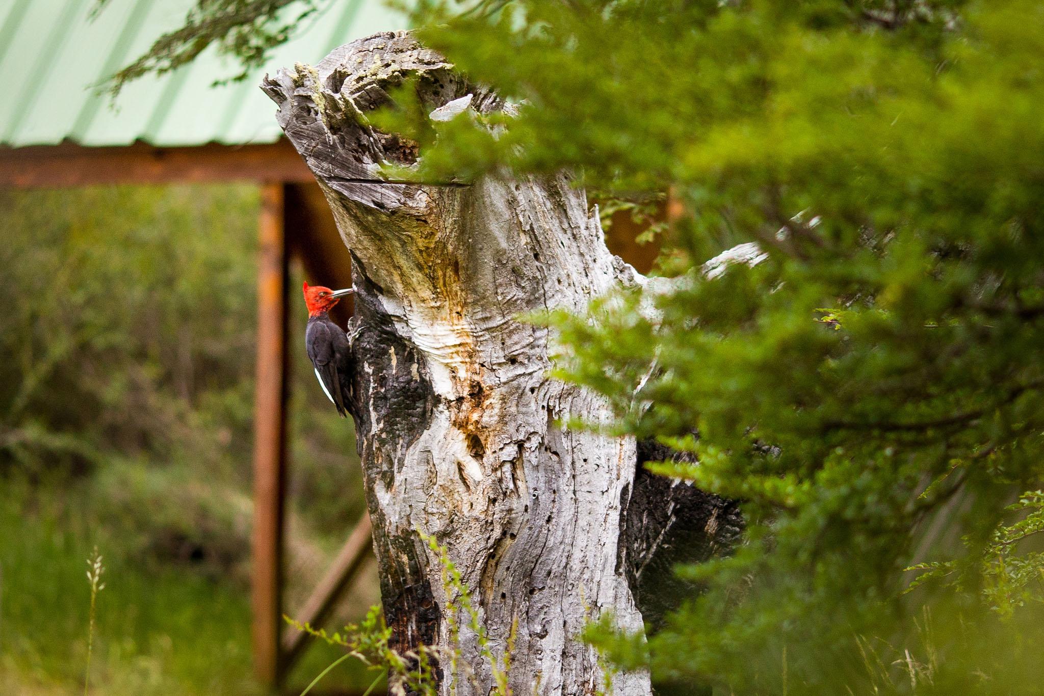 Wedding-Travellers-Overlanding-Destination-Wedding-Chile-Torres-del-Paine-male-magellanic-woodpecker-pehoe